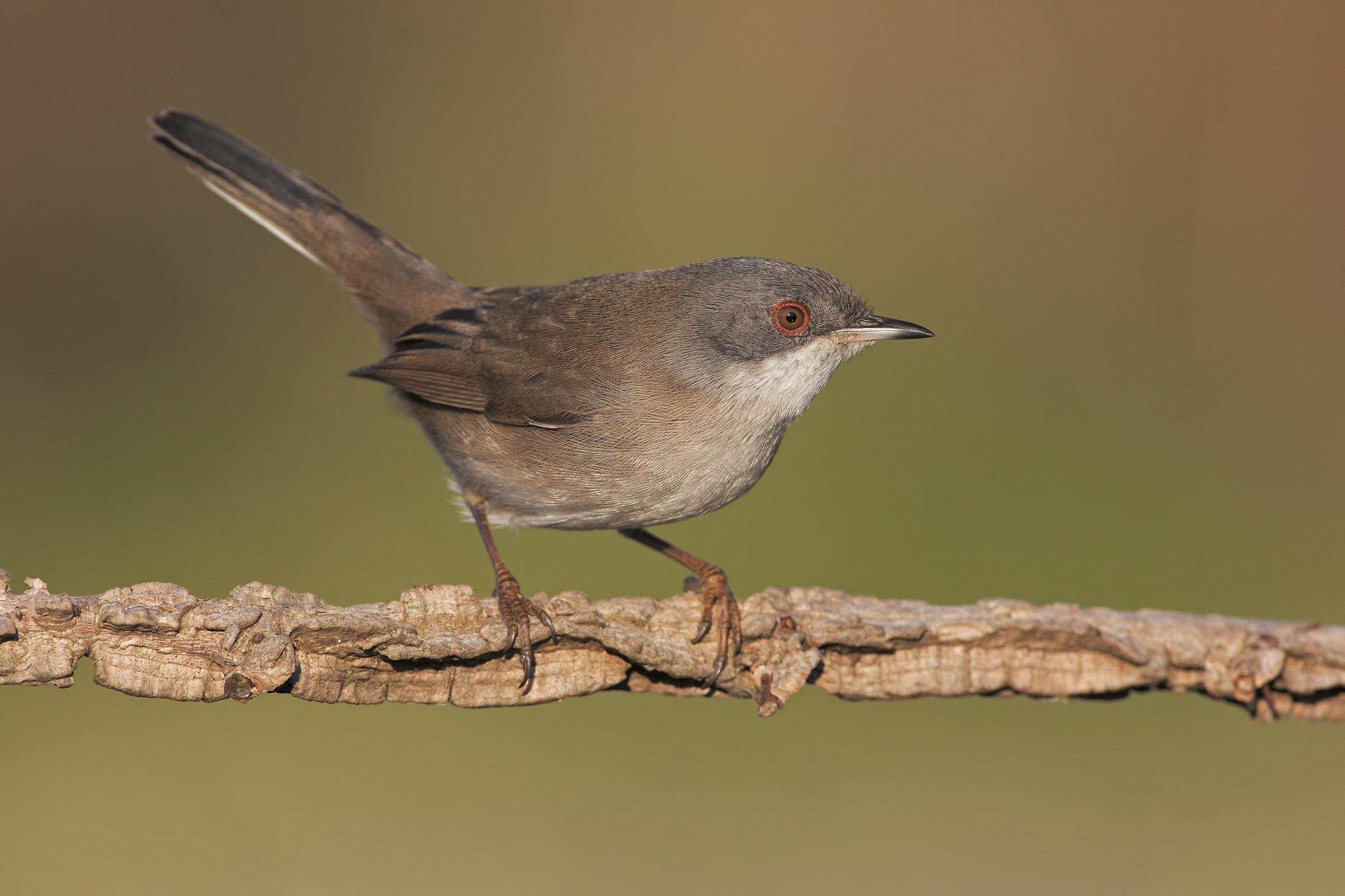 Warbler Female...