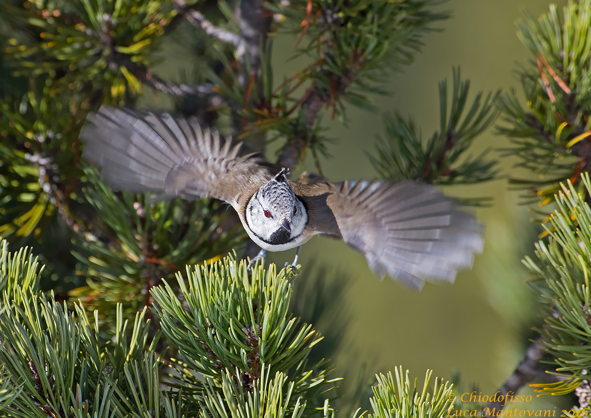 Crested tit departing...