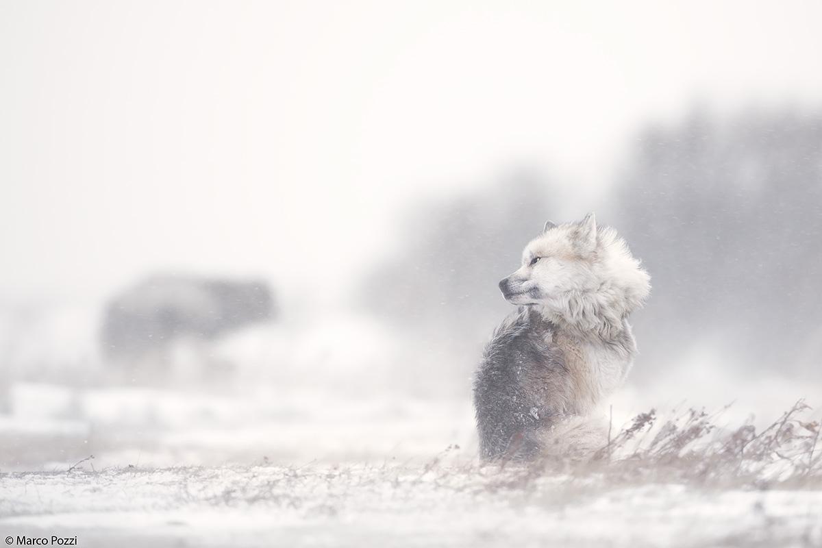 Tundra Dogs...