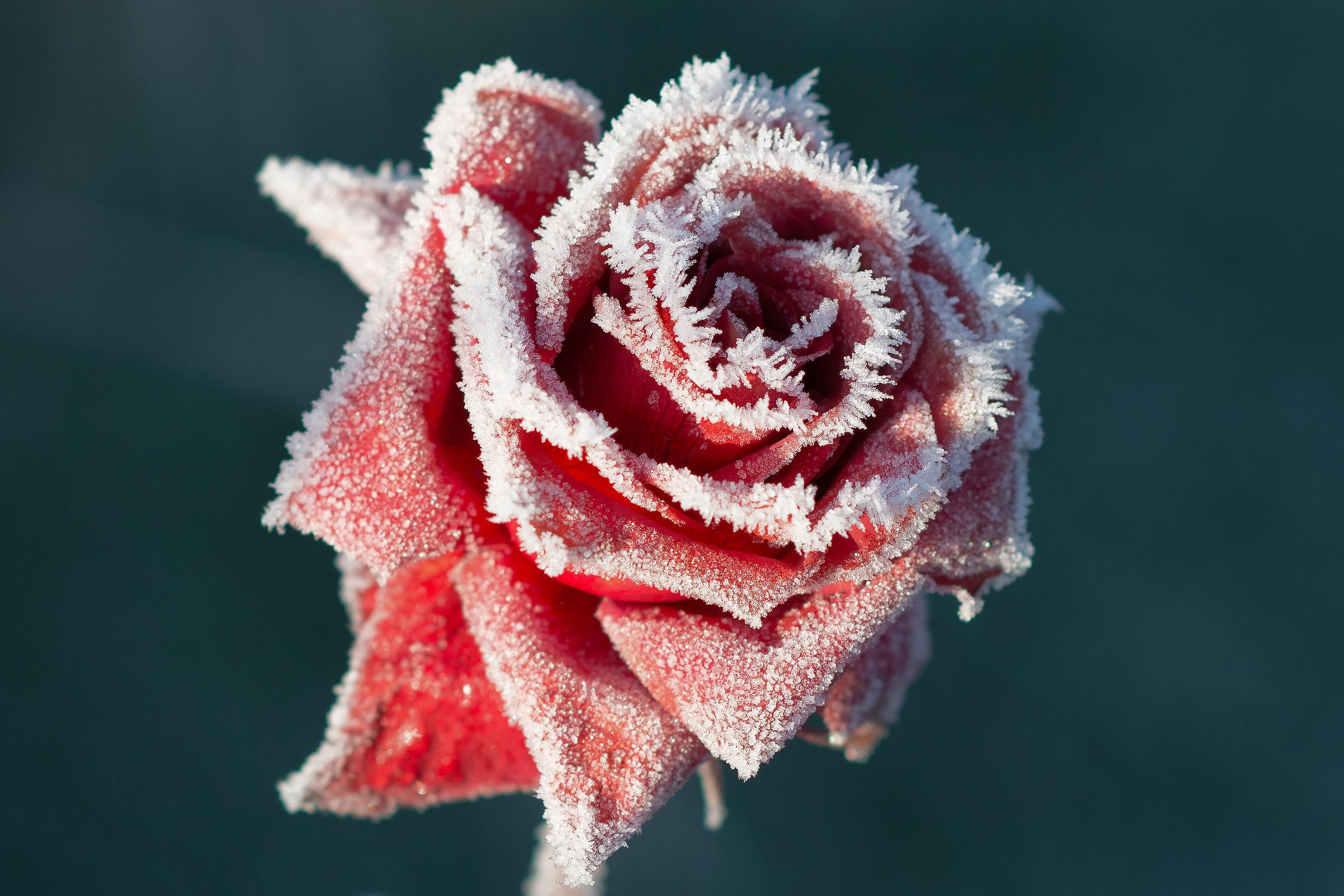 Rose in December...