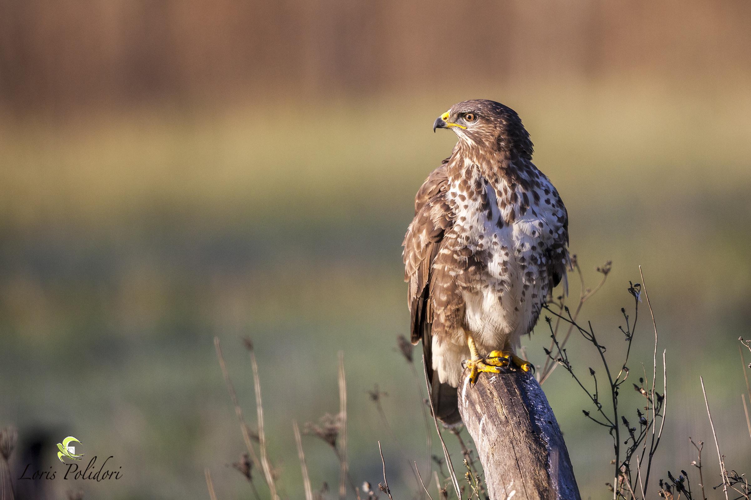 buzzard with austere sgardo...