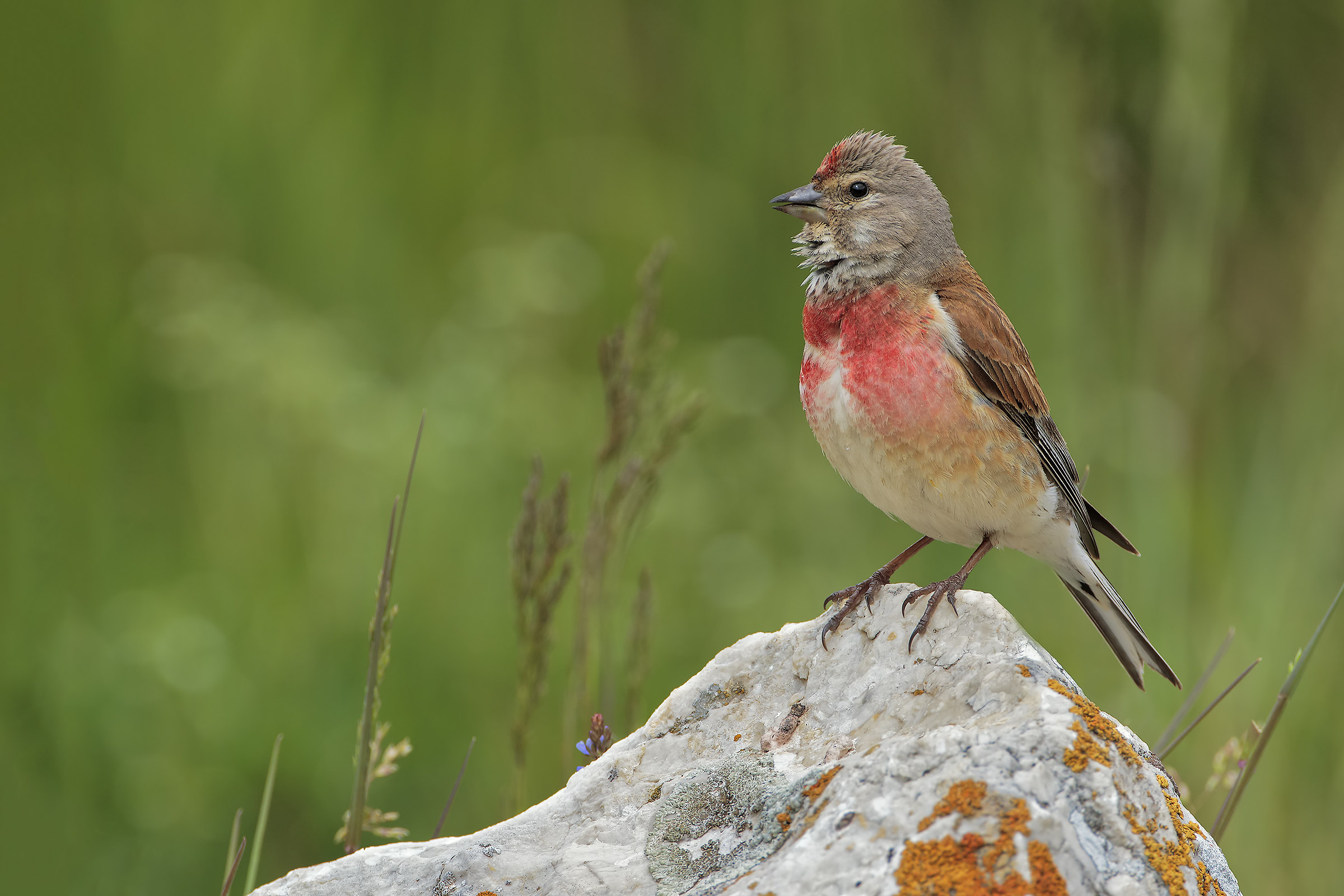 Linnet male...