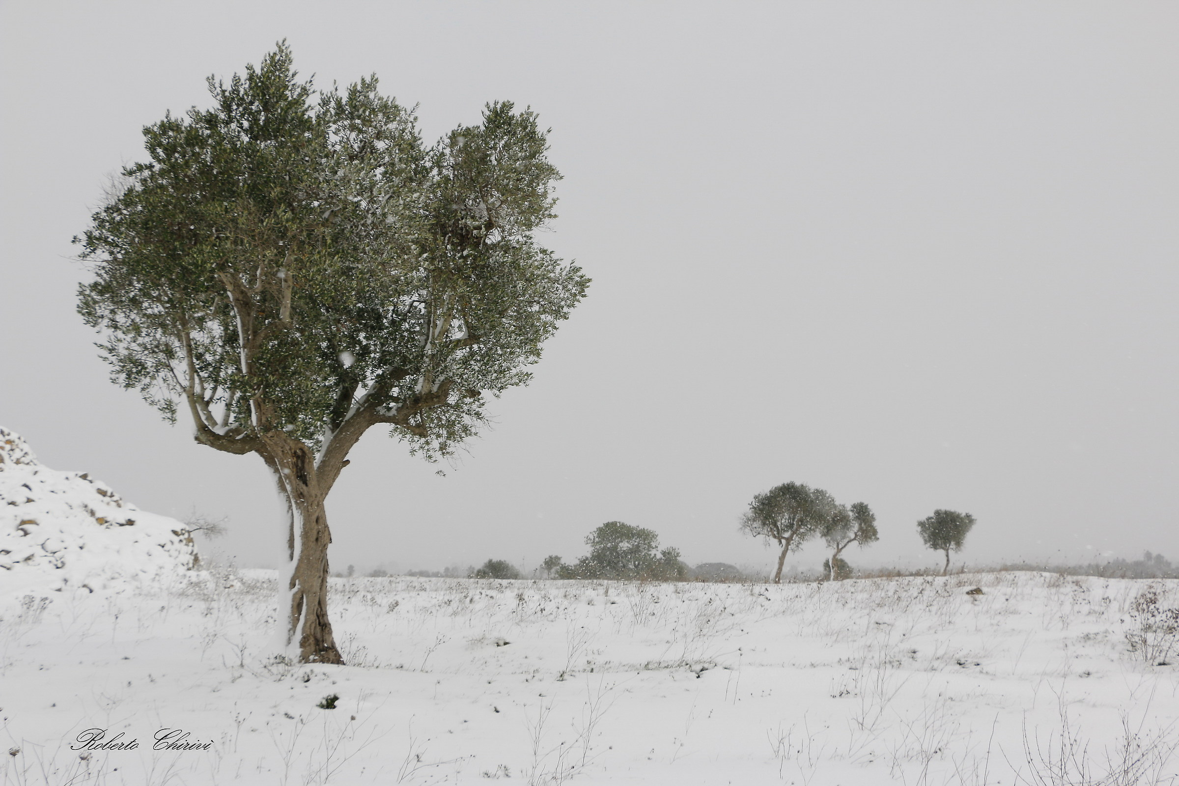The olive tree and snow...