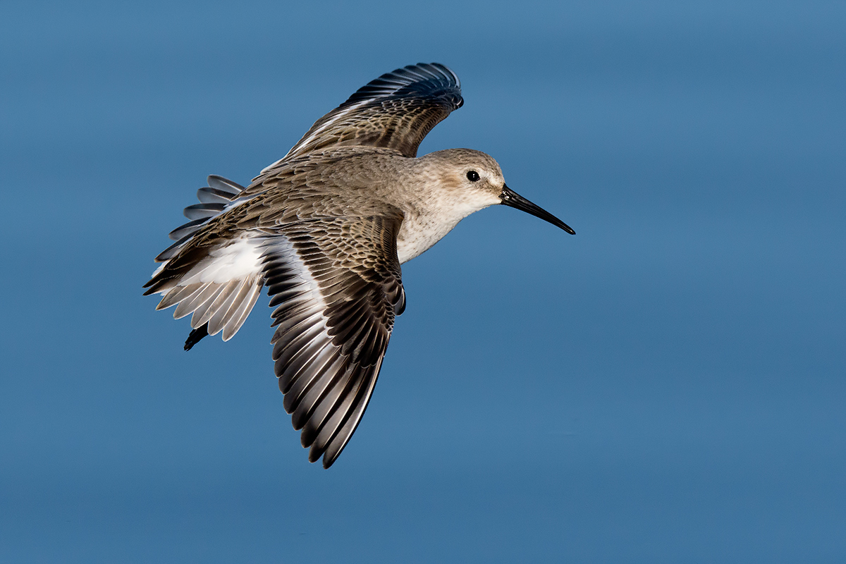 Sandpiper in flight...