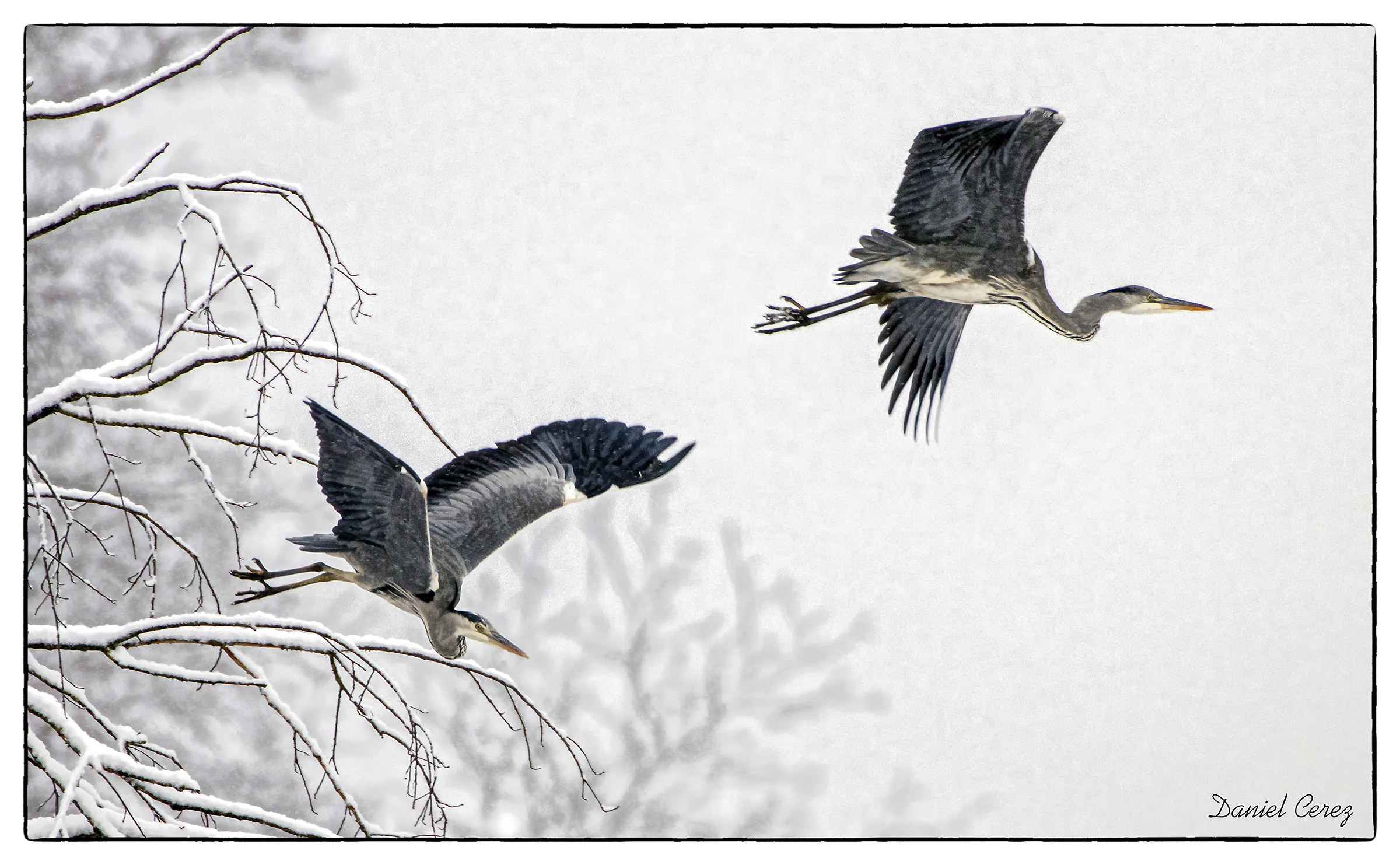 grey heron in the snow...