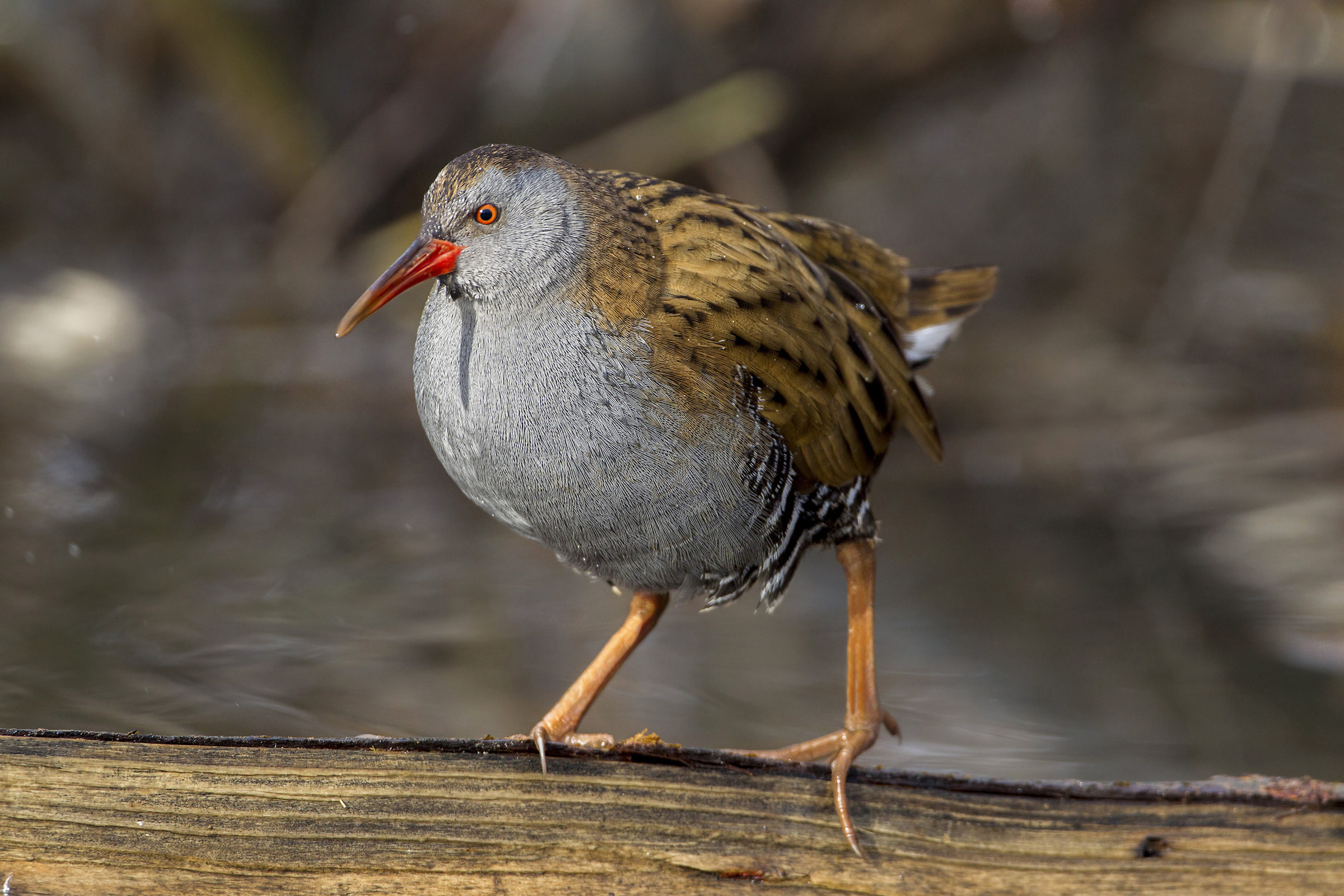 water rail axis of balance...