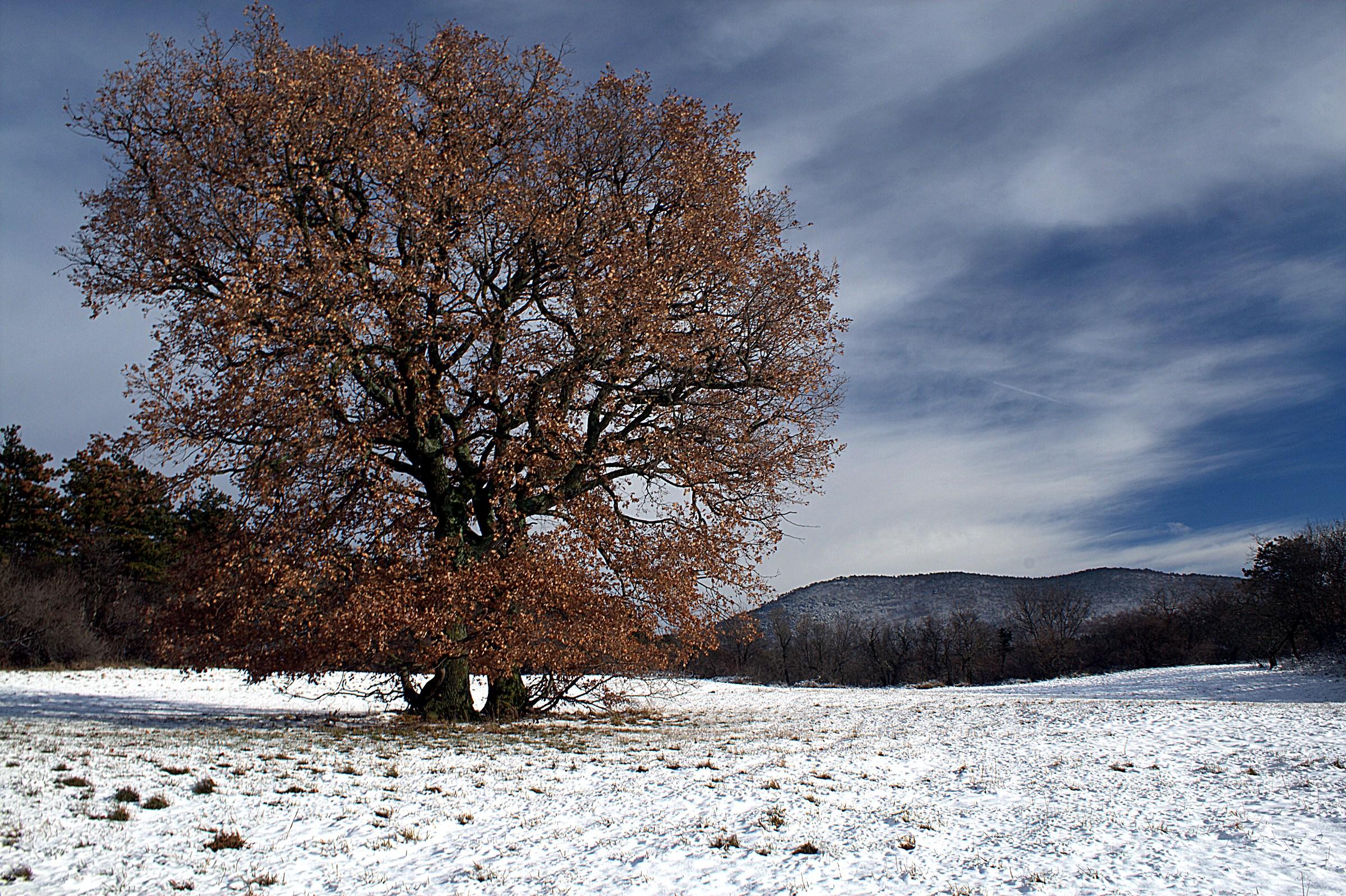 the old lone oak...