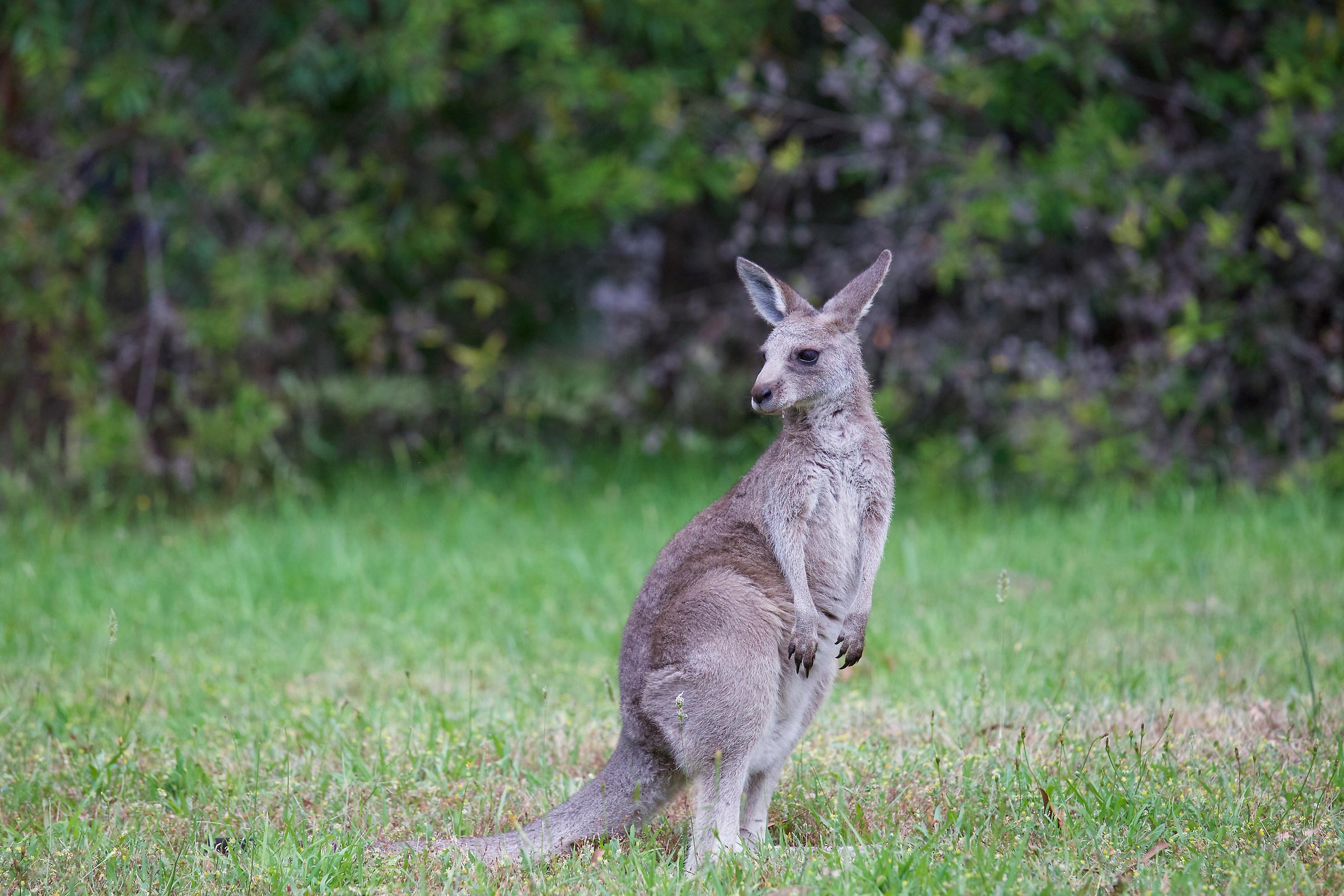 Kangaroo...