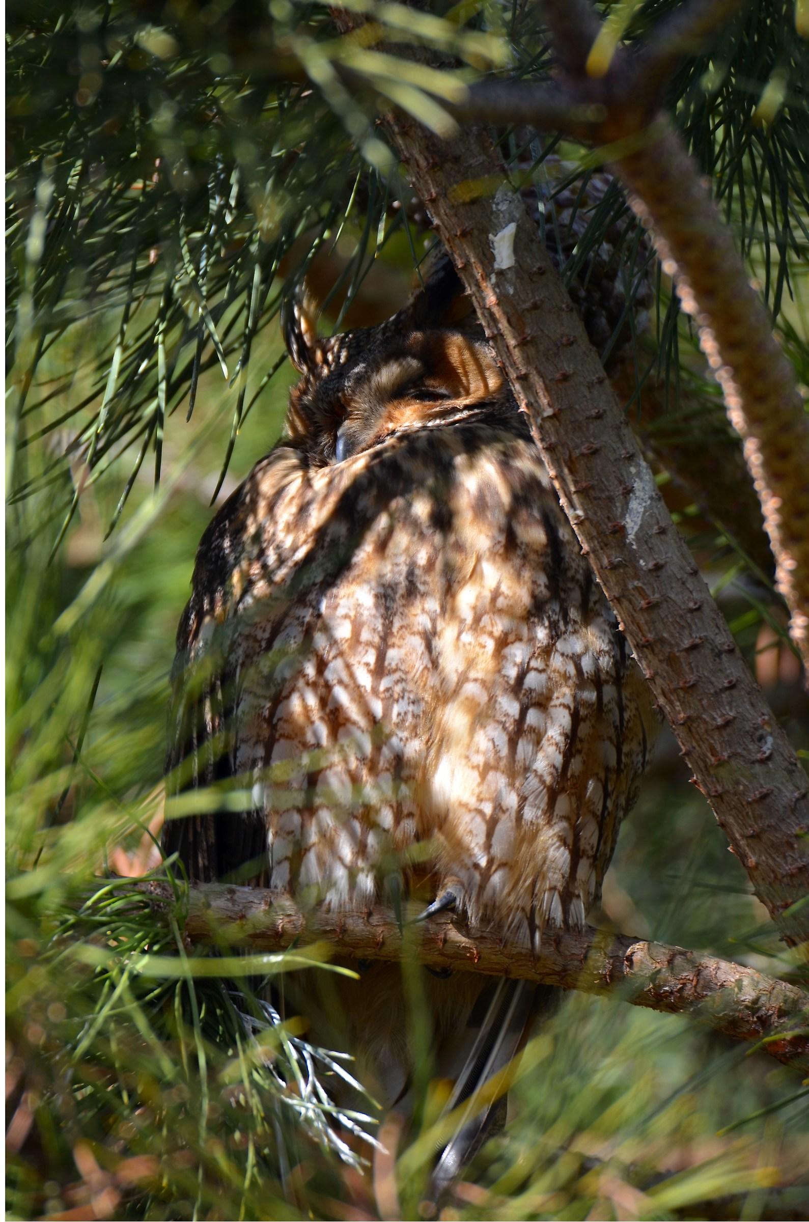 """eared owl """"Roost""""..."""
