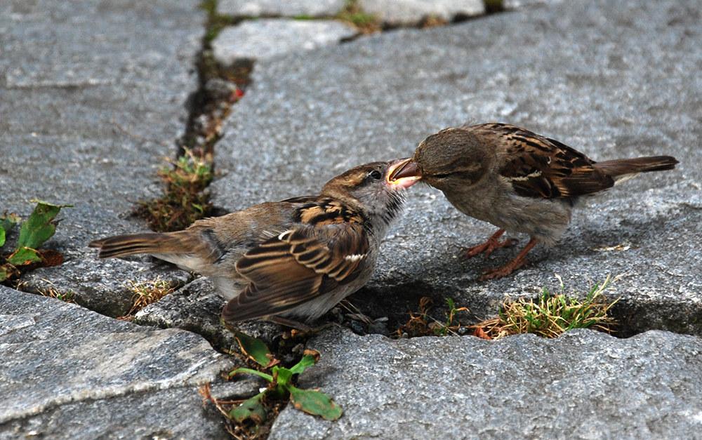 sparrows...