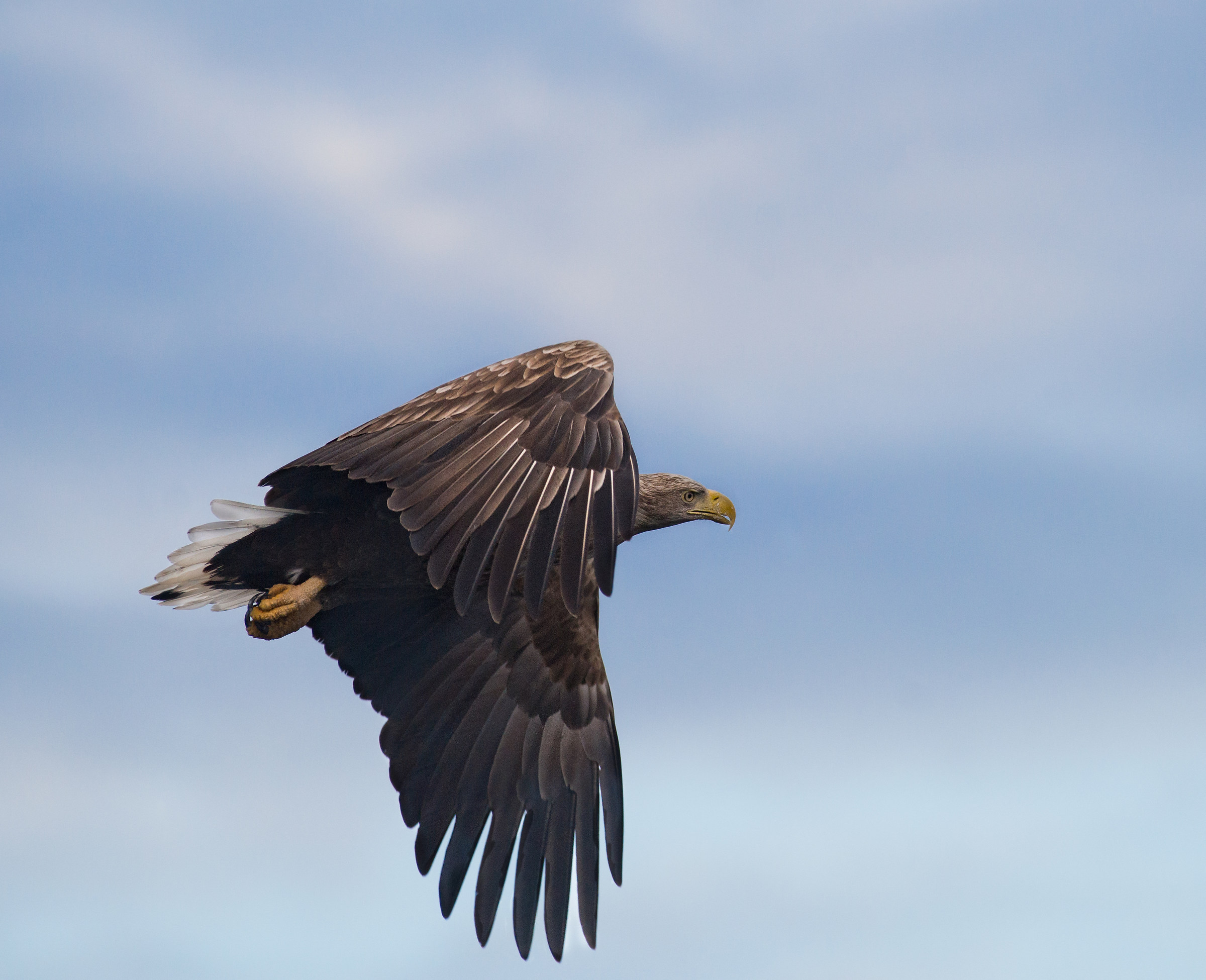 Sea eagle flying up in the blue...