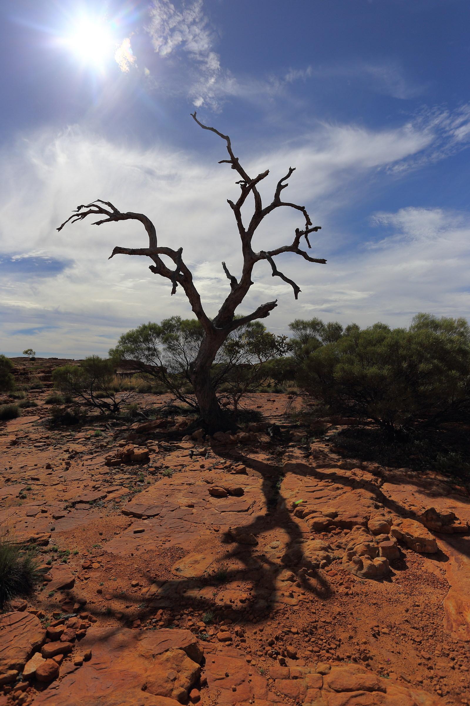 Kings Canyon (Australia): dead tree backlit...
