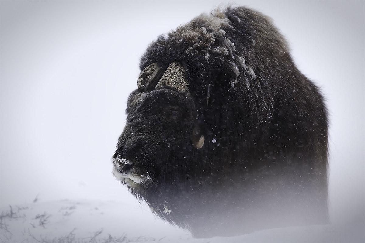 The grandeur of the musk ox...