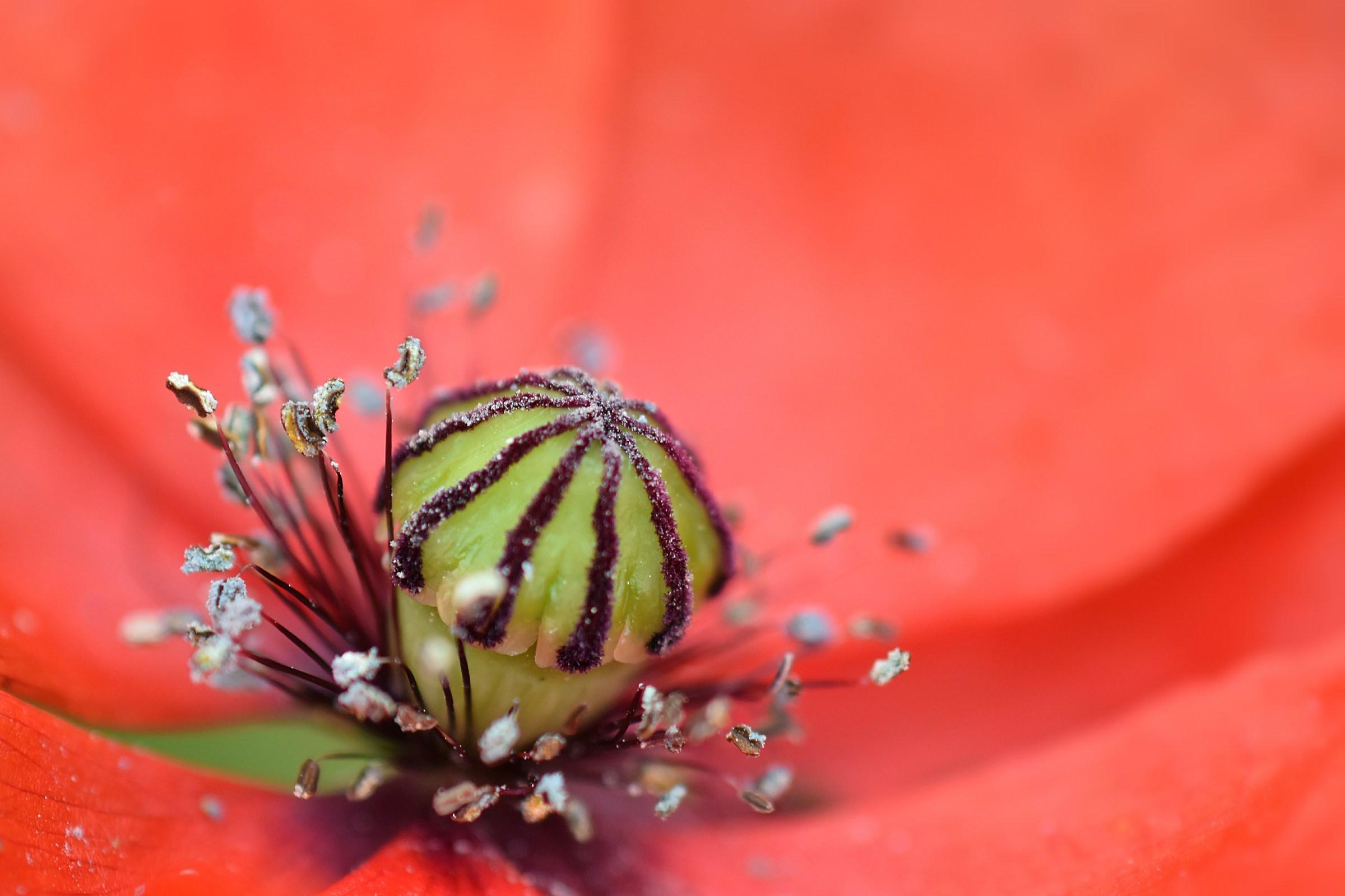 Inside the poppy...
