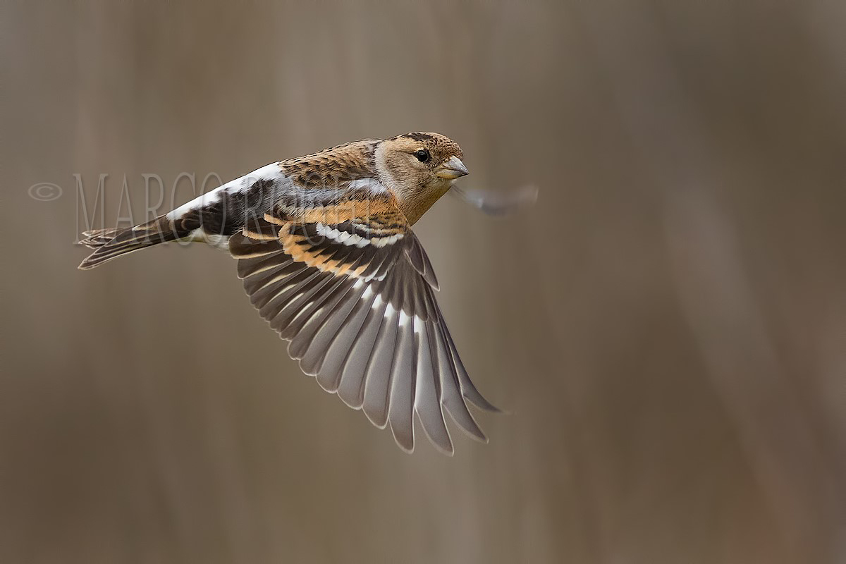 Brambling in Flight...