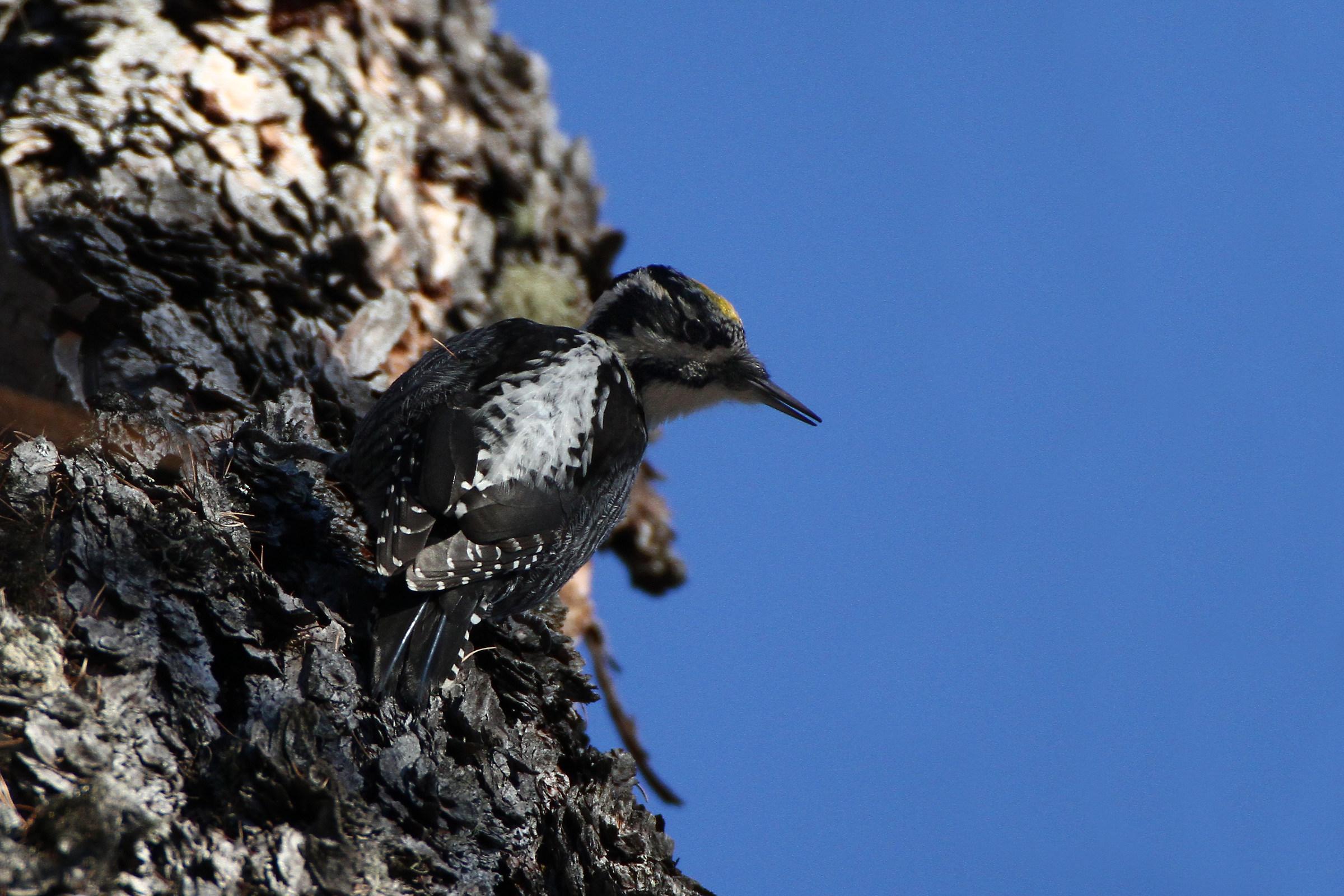 Three-toed Woodpecker - Dolomites...