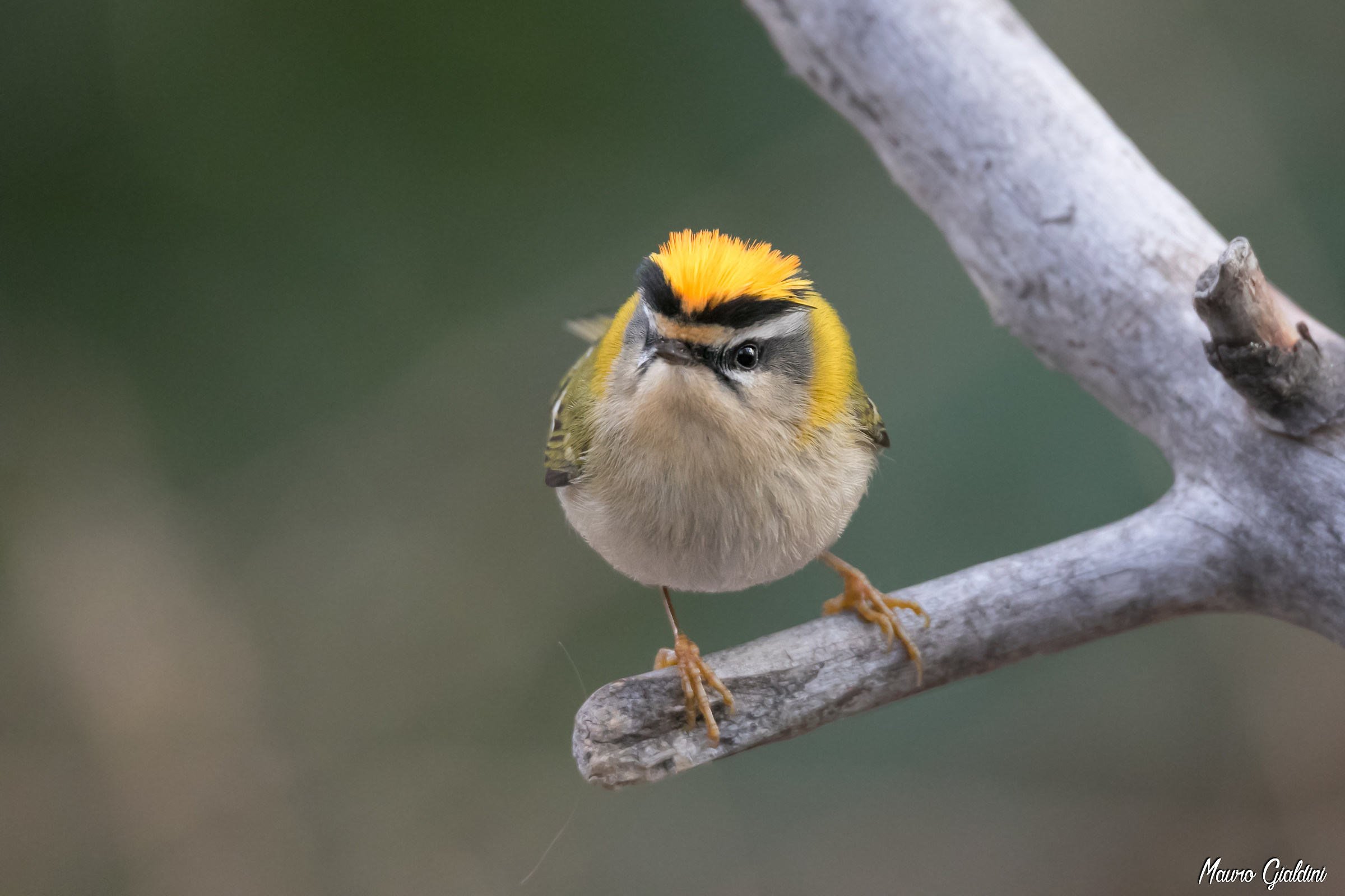 Firecrest male...