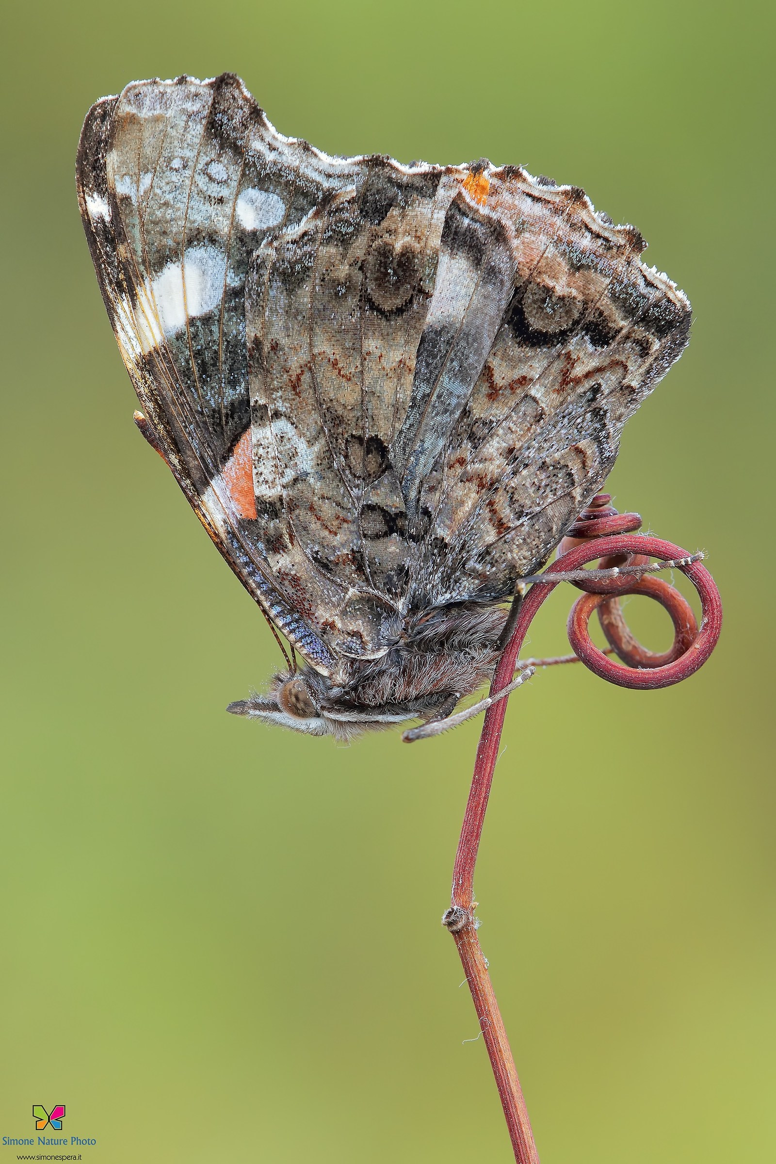 Red Admiral .......
