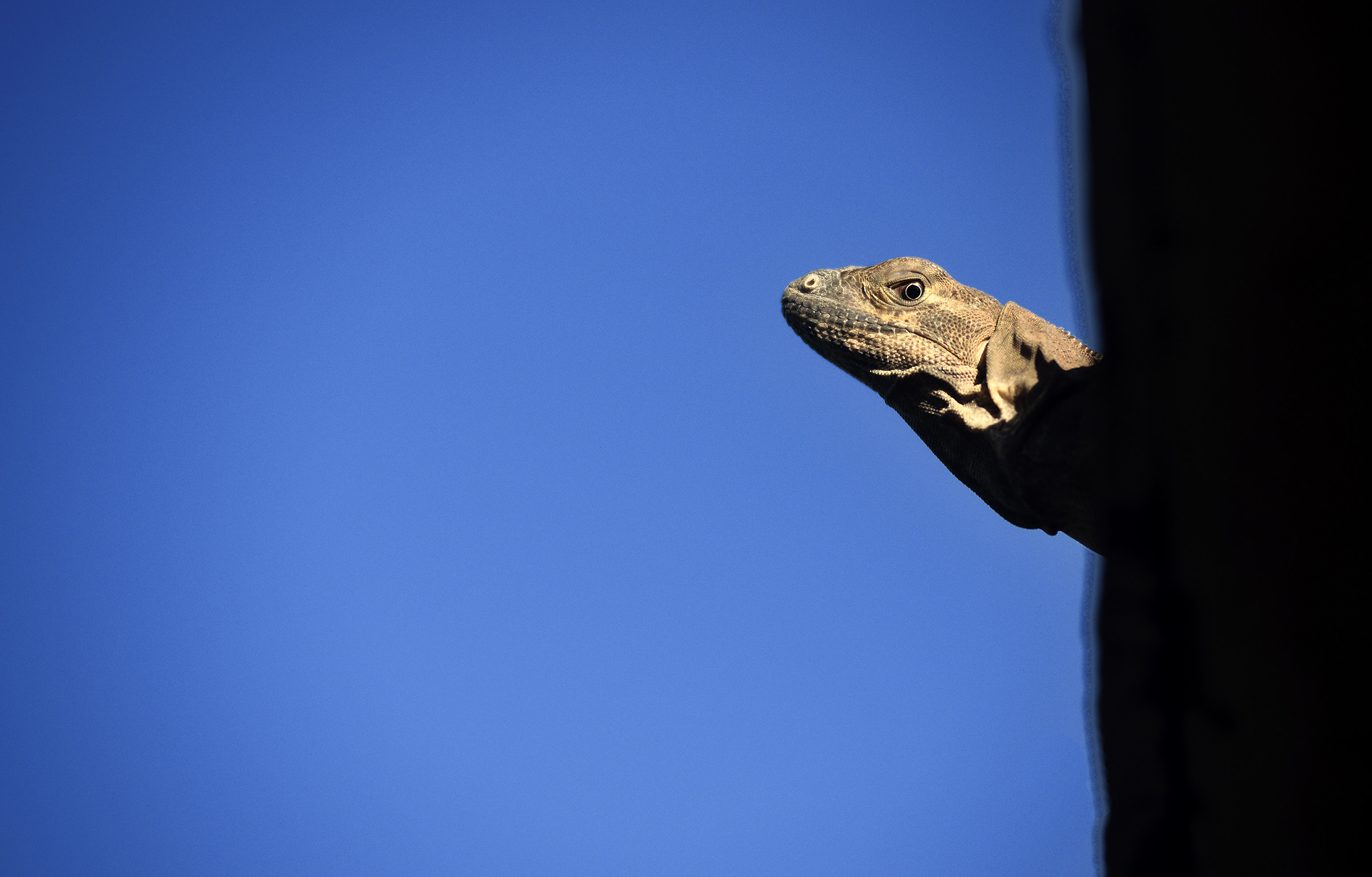 small Iguana...