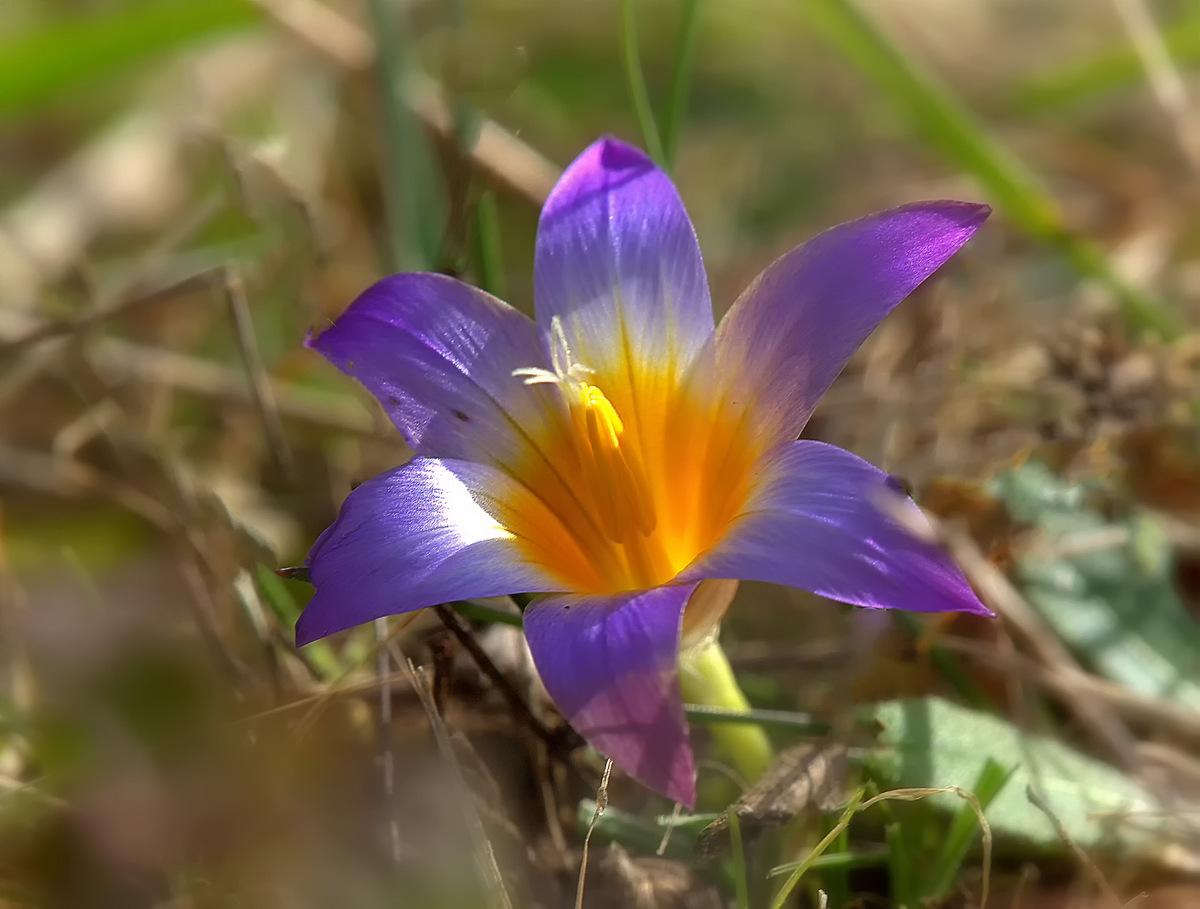 Romulea bulbocodium (L) Sebast....