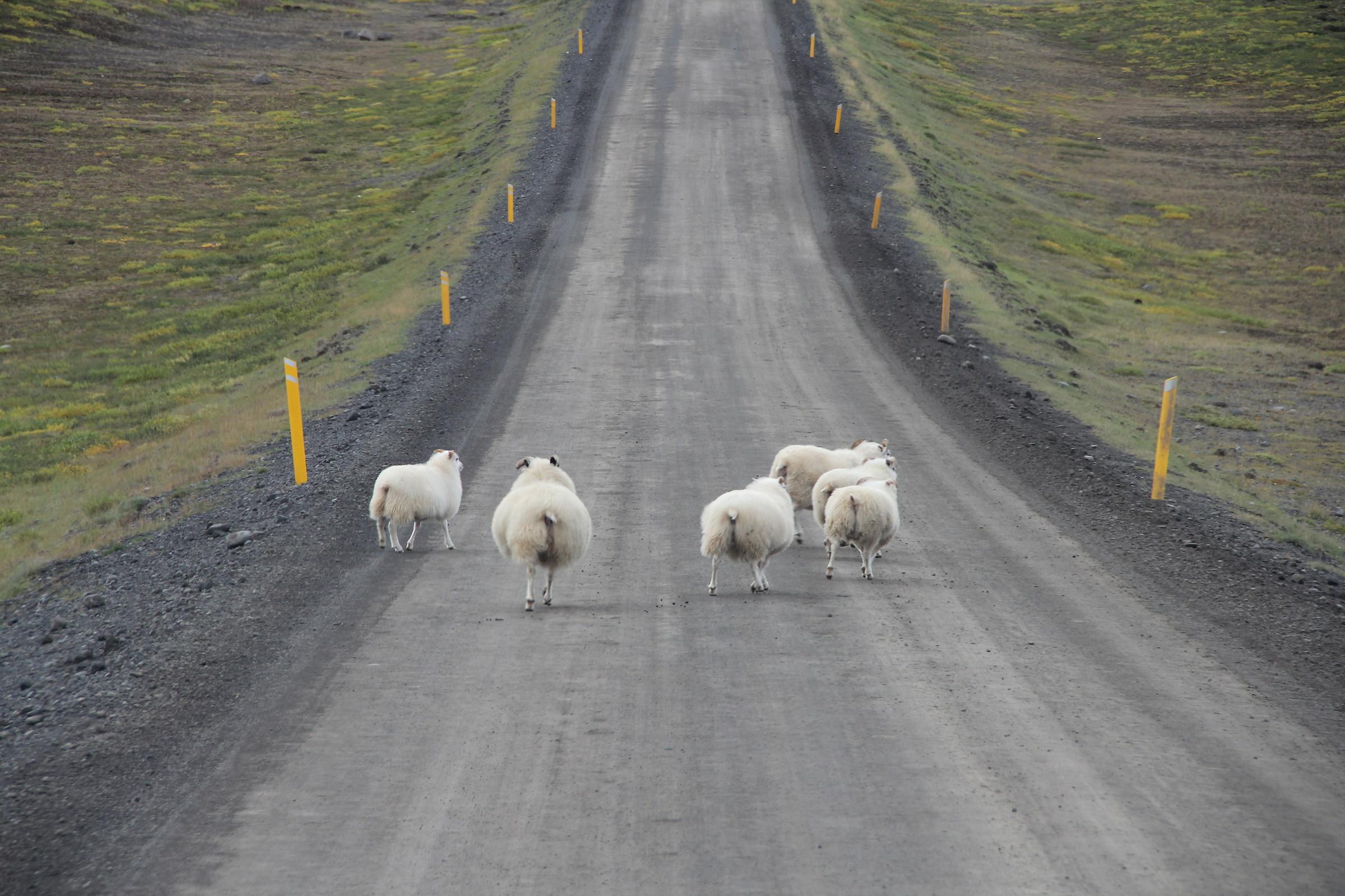 Icelandic rush hour traffic ......
