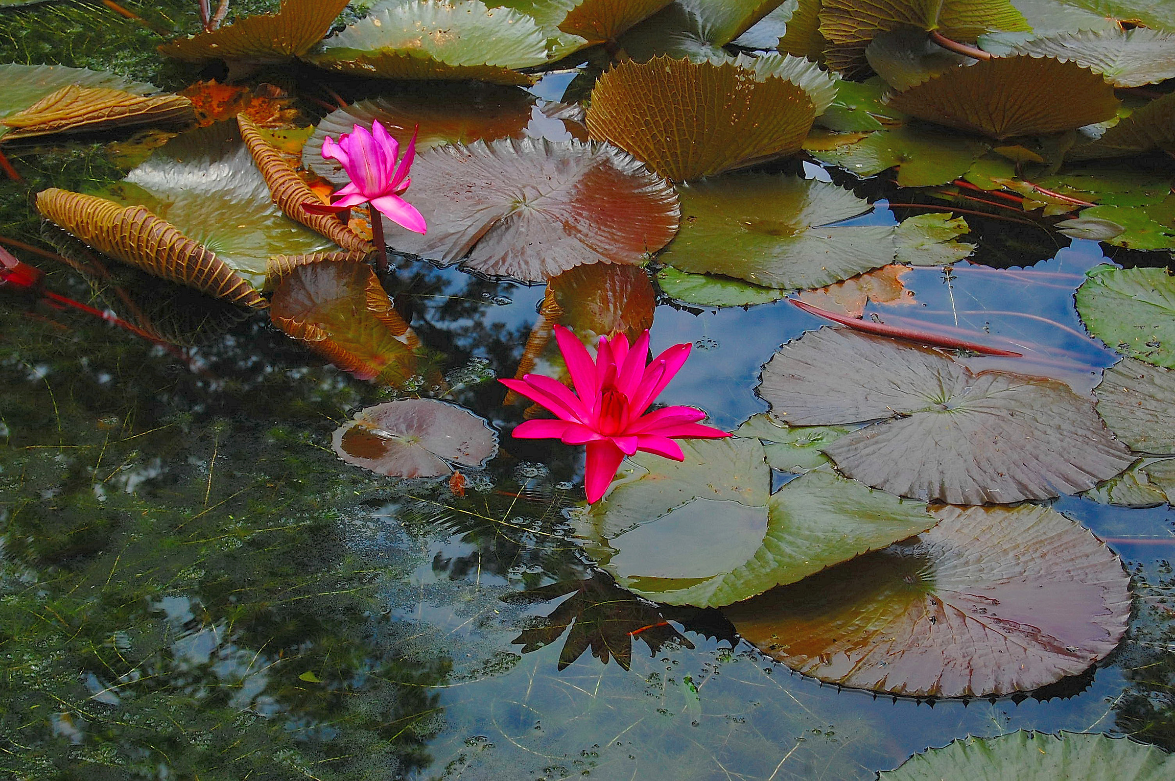 Pamplemousses (Mauritius): Red lily...
