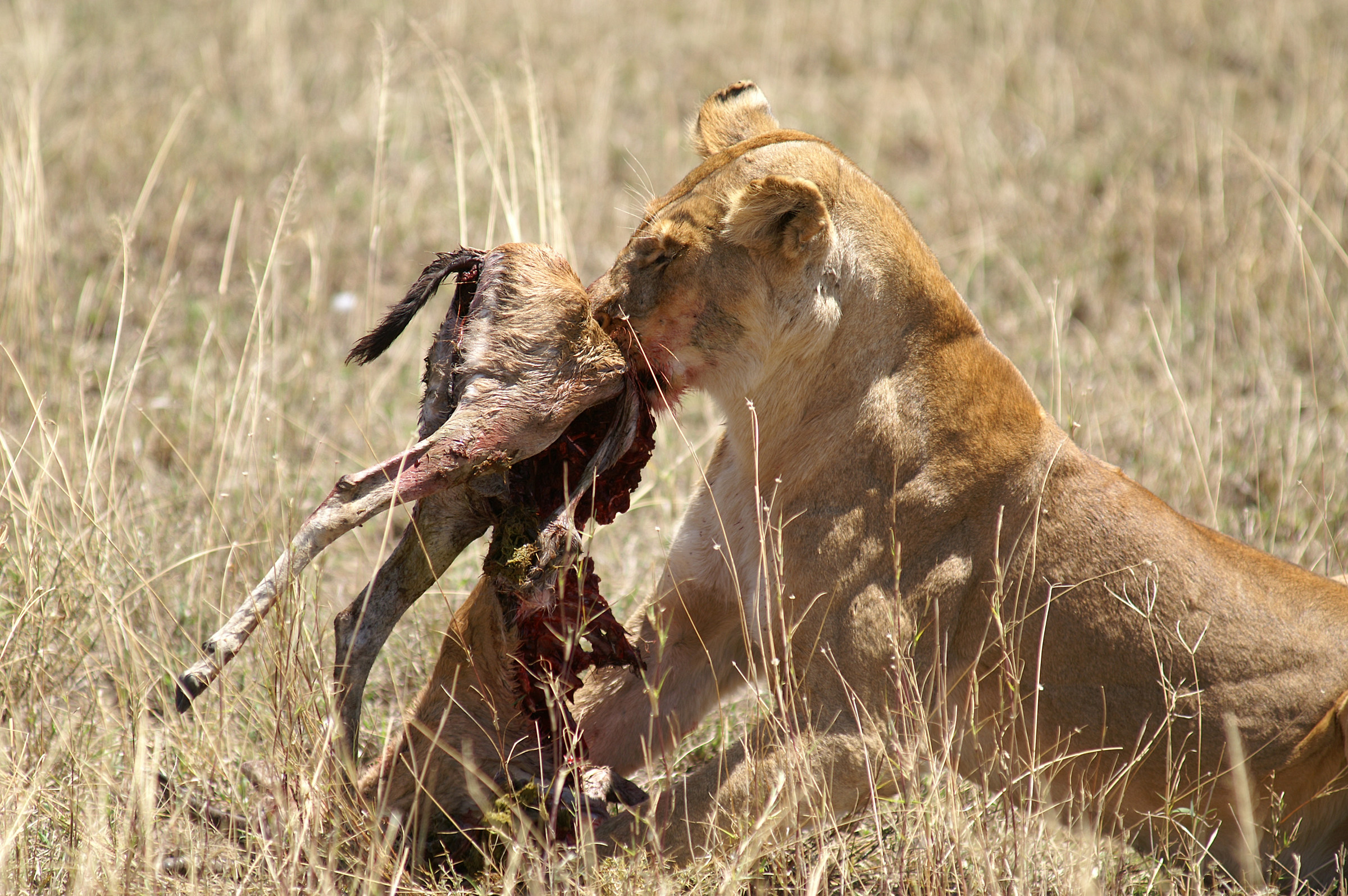 Lioness with prey...