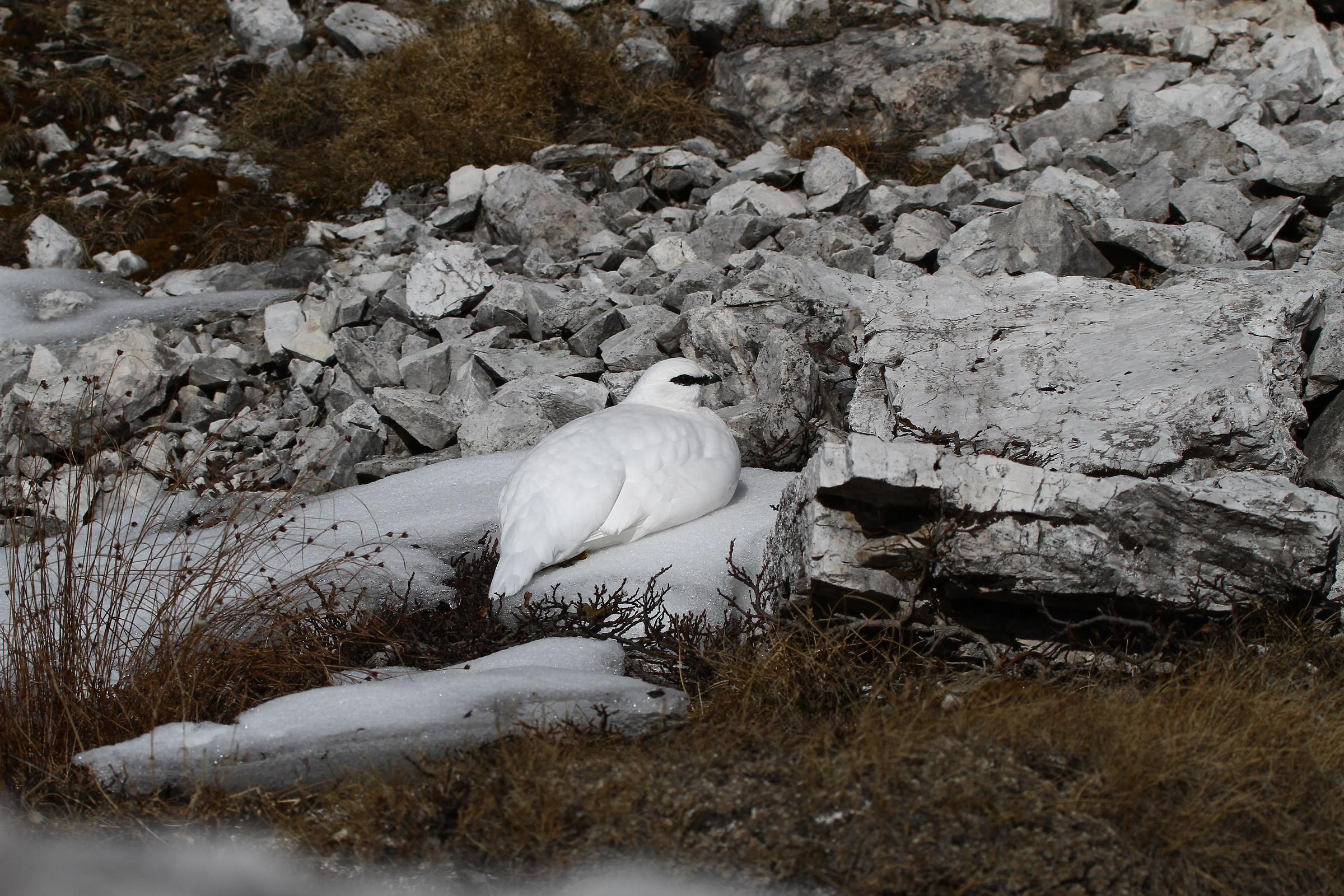 set ptarmigan - Dolomites...