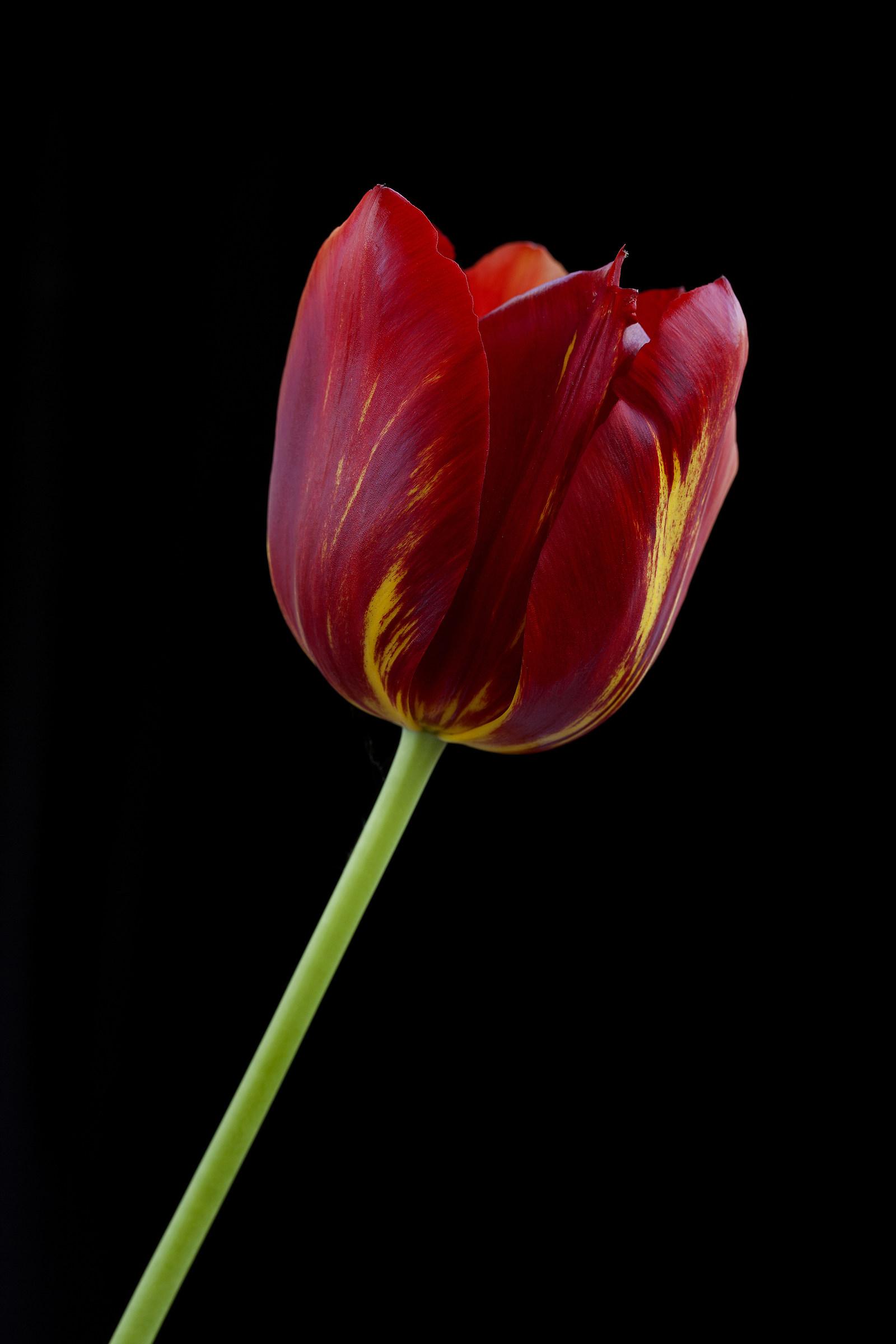 Tulipano rosso...