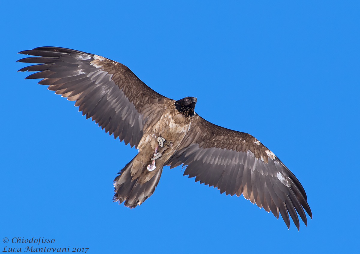 Finally the bearded vulture!...