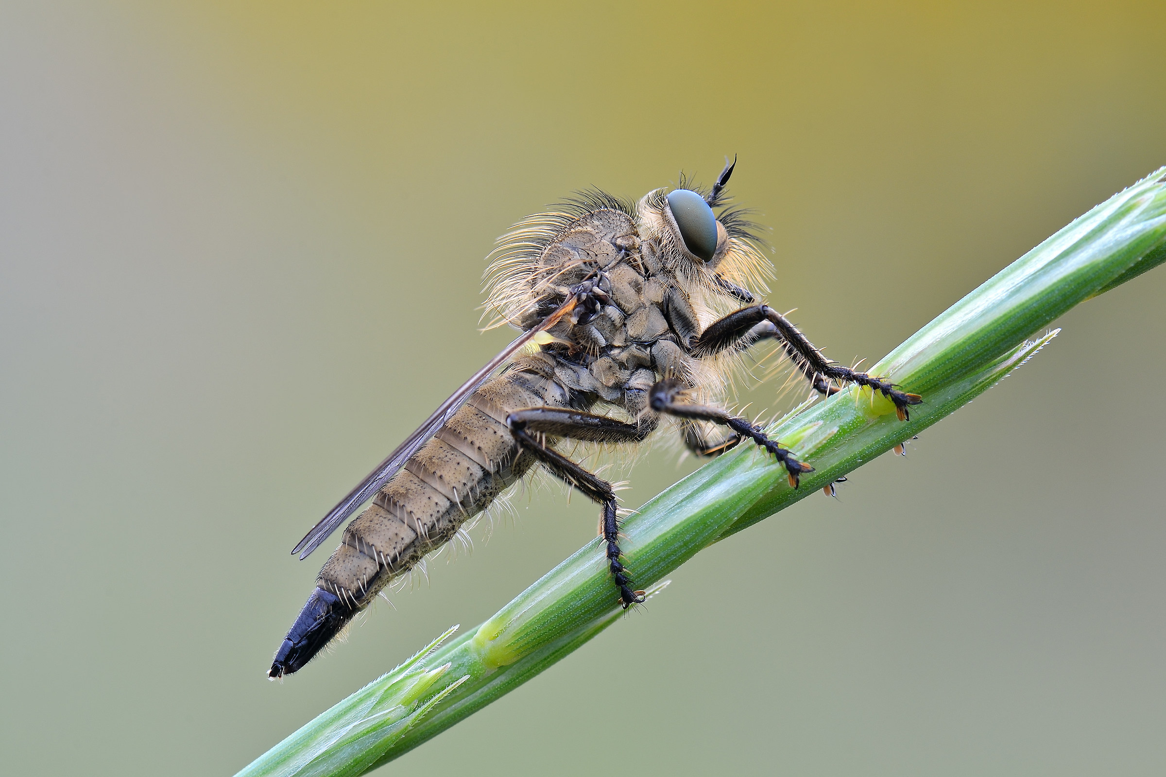 Philonicus albiceps, Asilide...