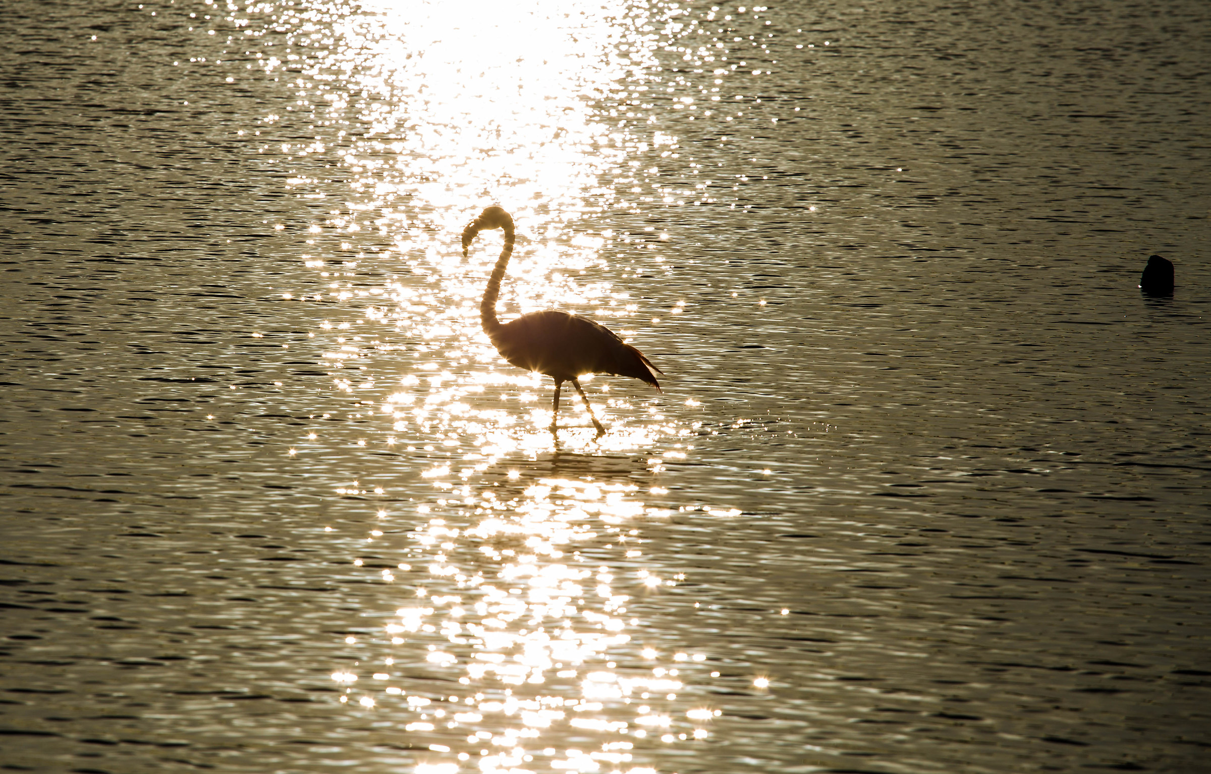 flamingo in the pond...