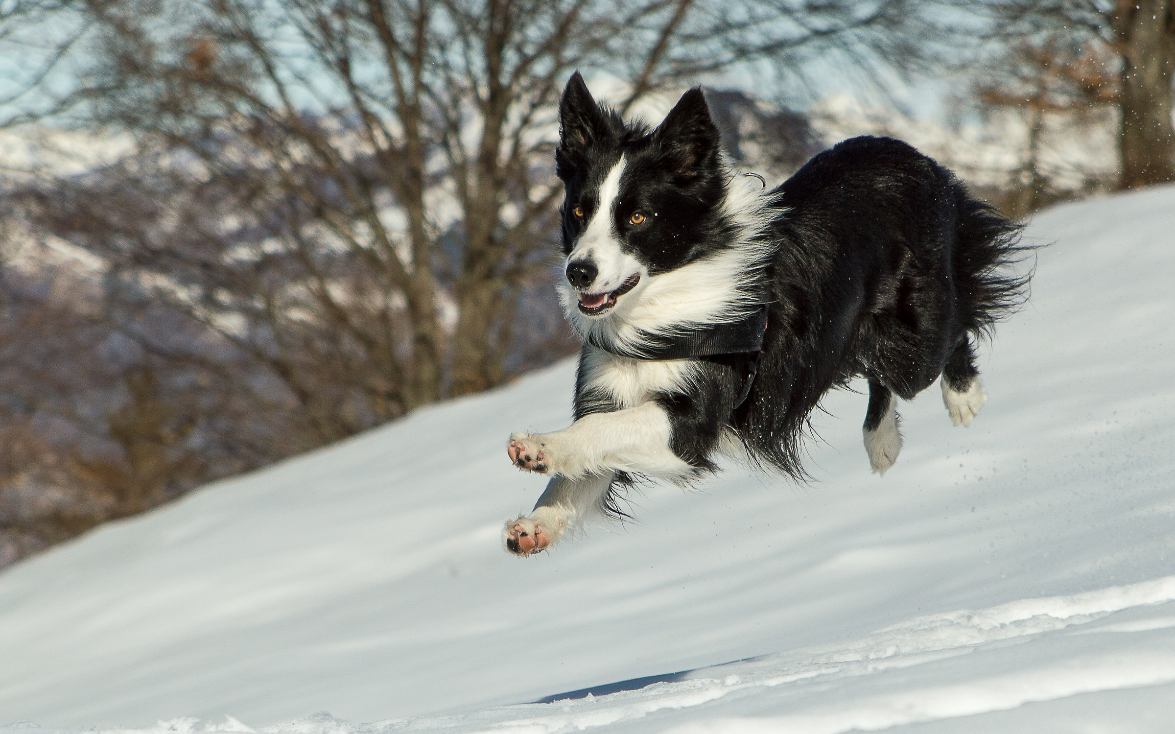 Border Collie in flying!...