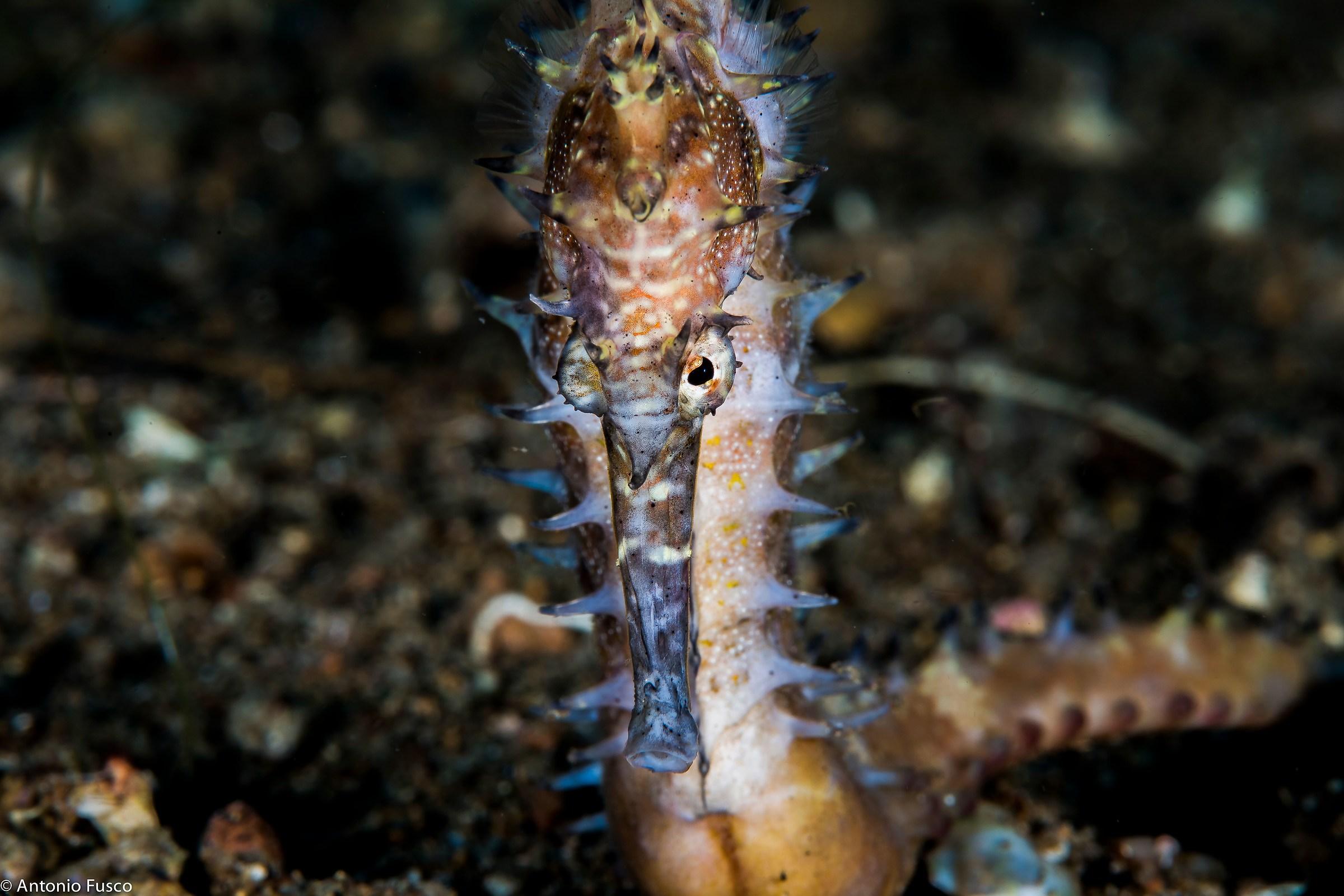 Hippocampus histrix...