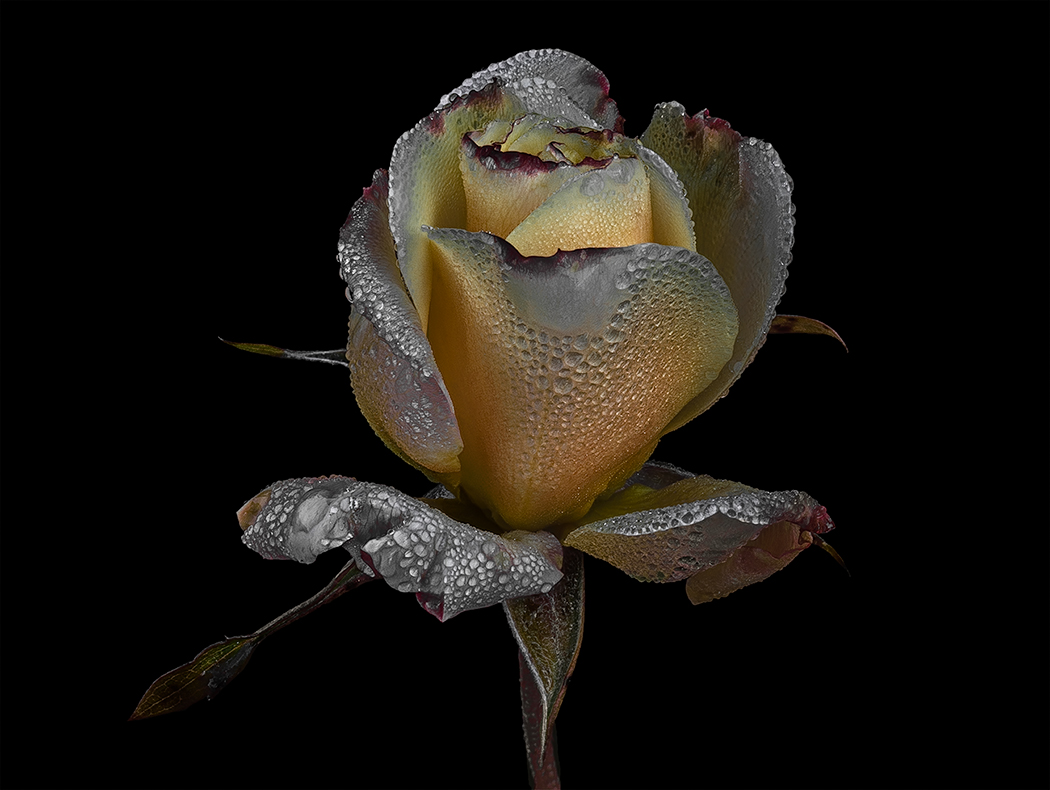 The last rose in winter...