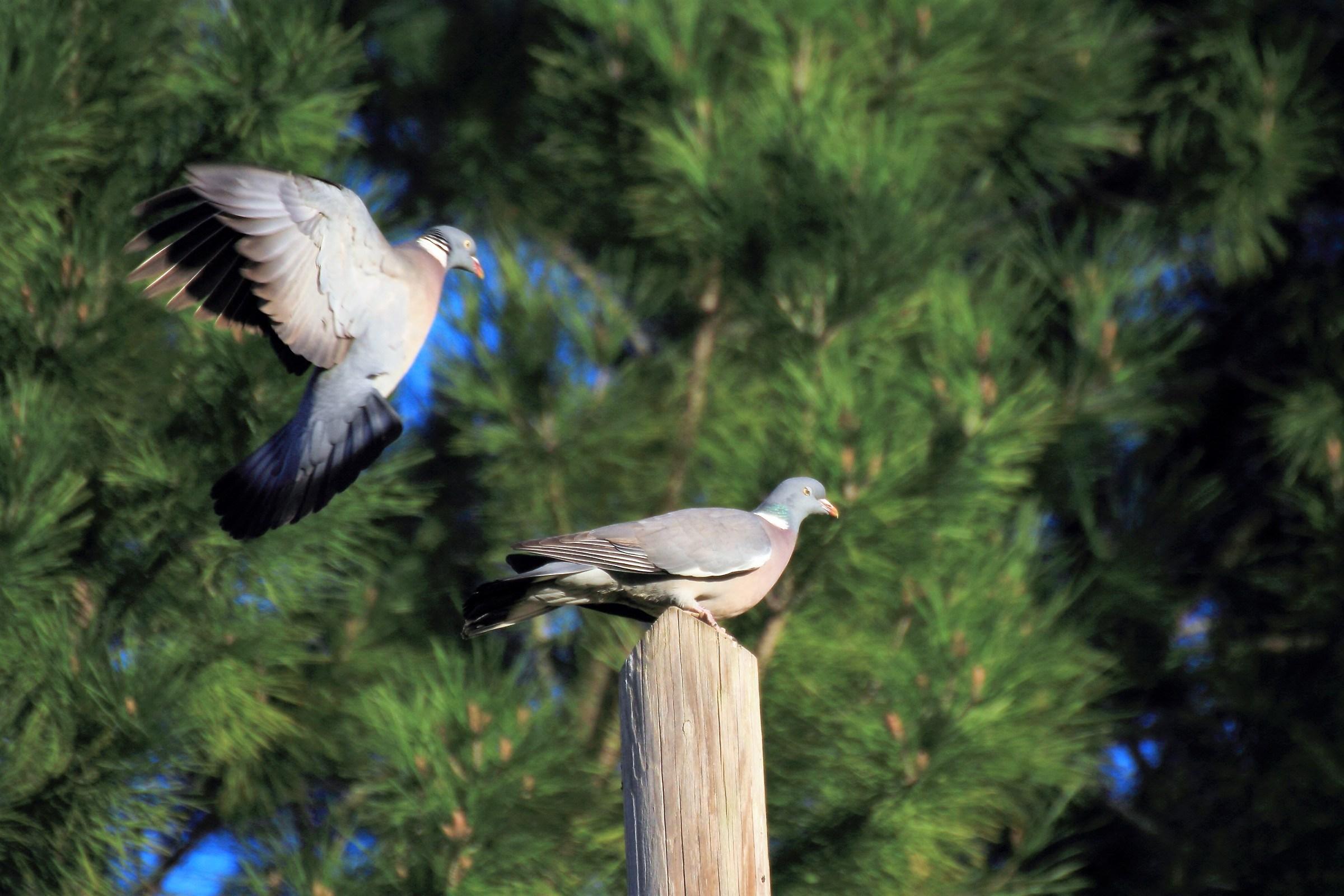 pair of pigeons...