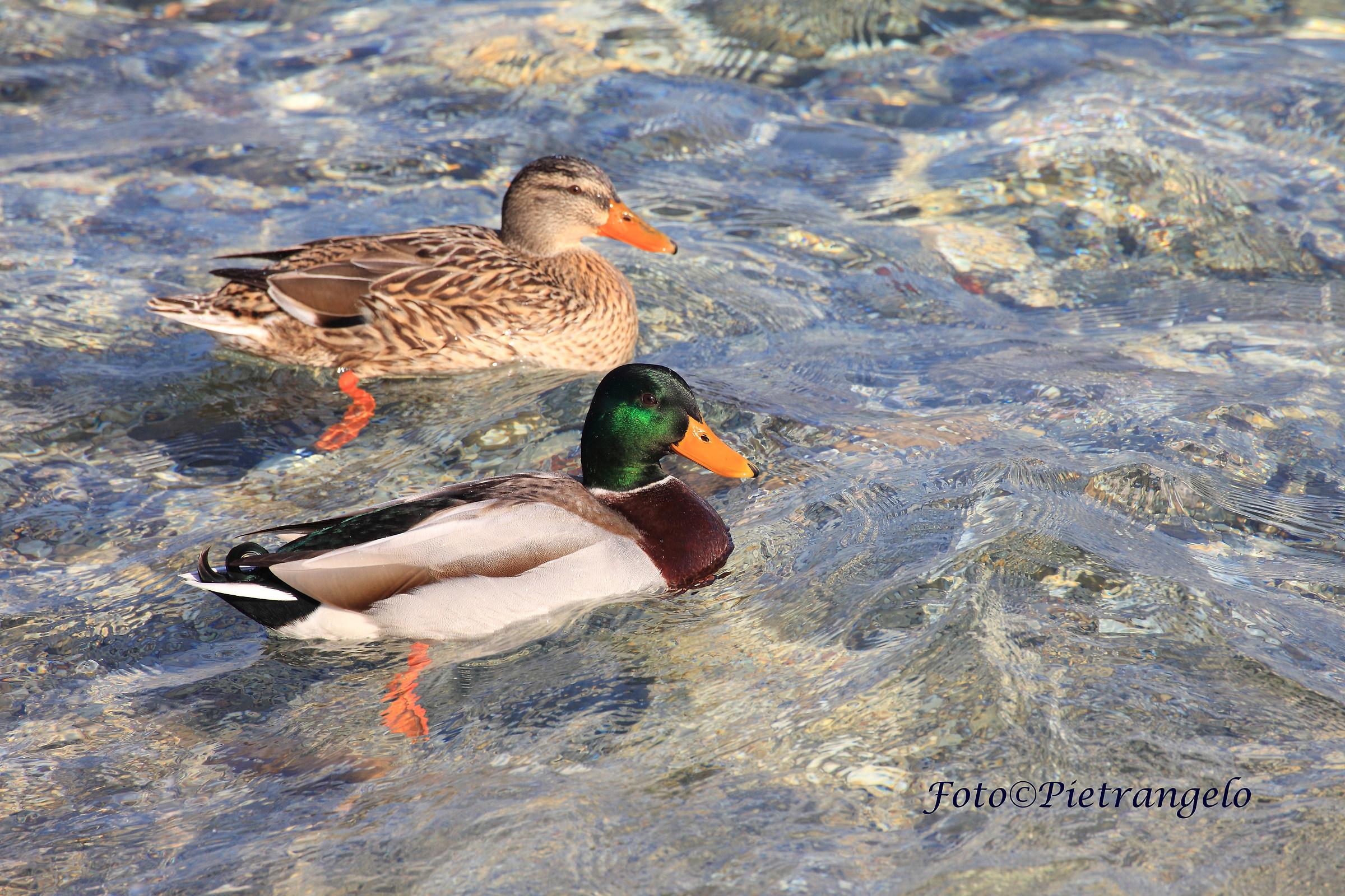 Mallard duck in pairs...