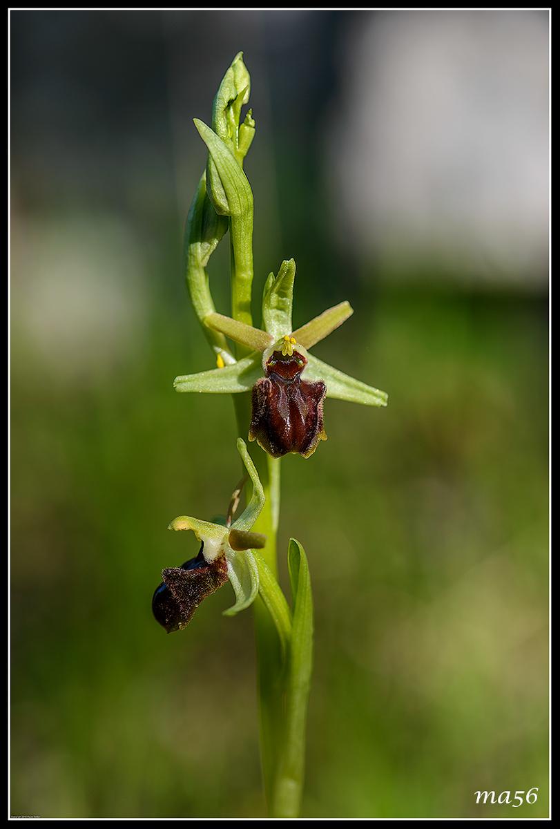 ophrys sphecodes...