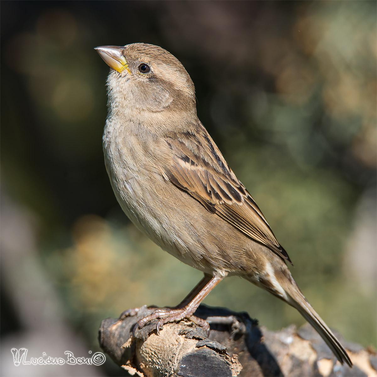 female sparrow...