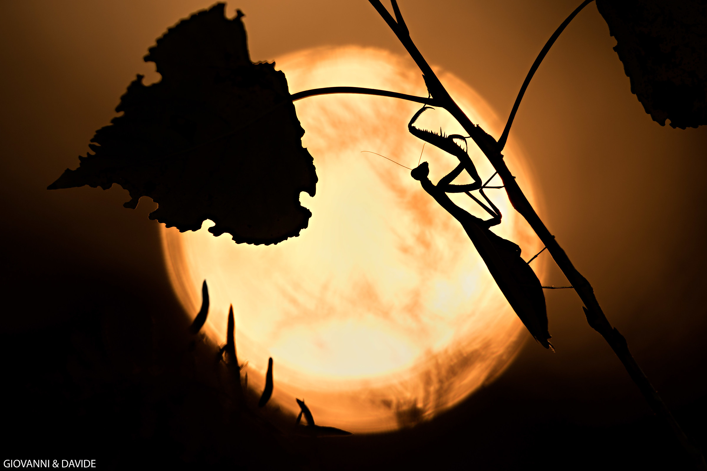 Mantis at sunset...