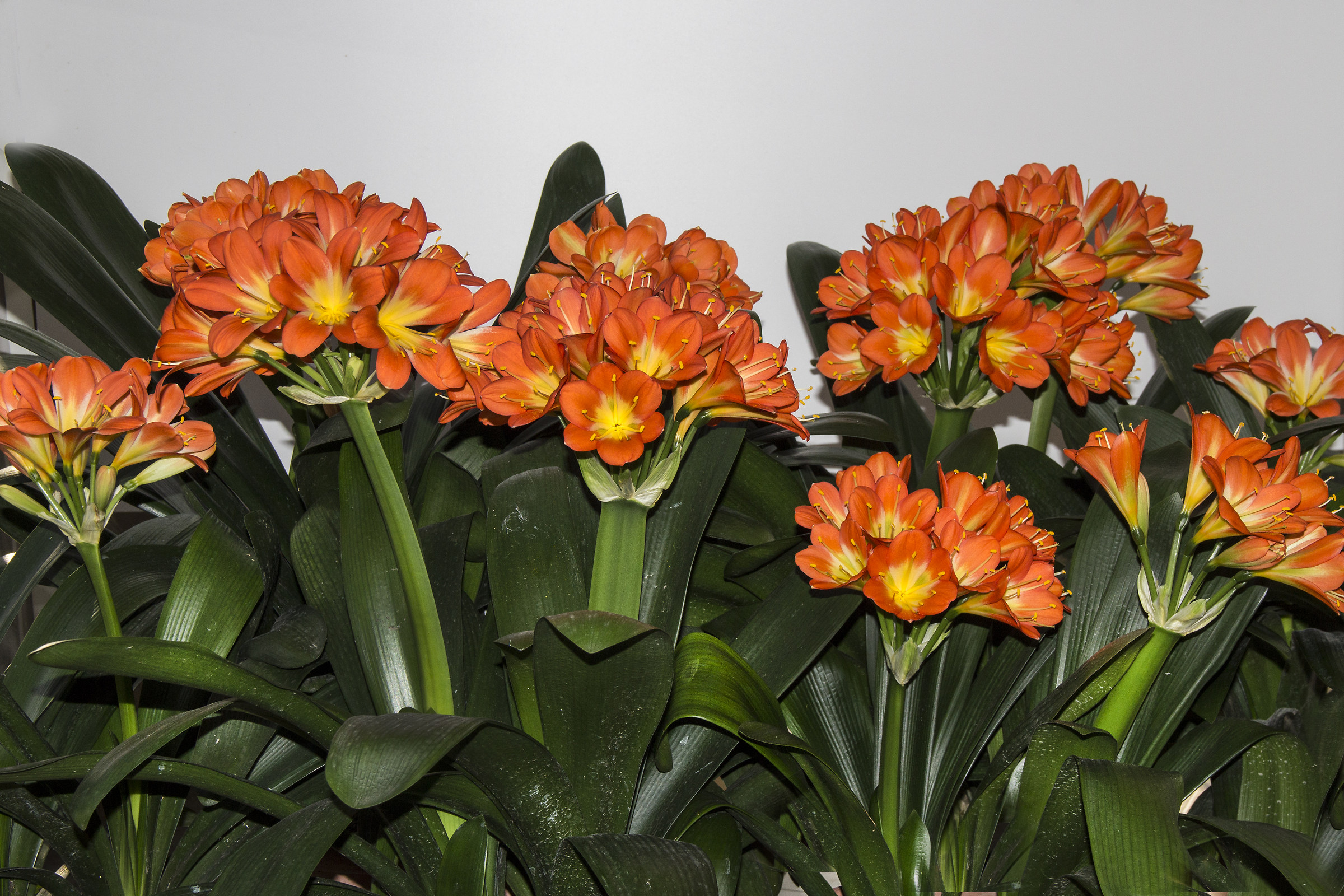 Clivia in full bloom...