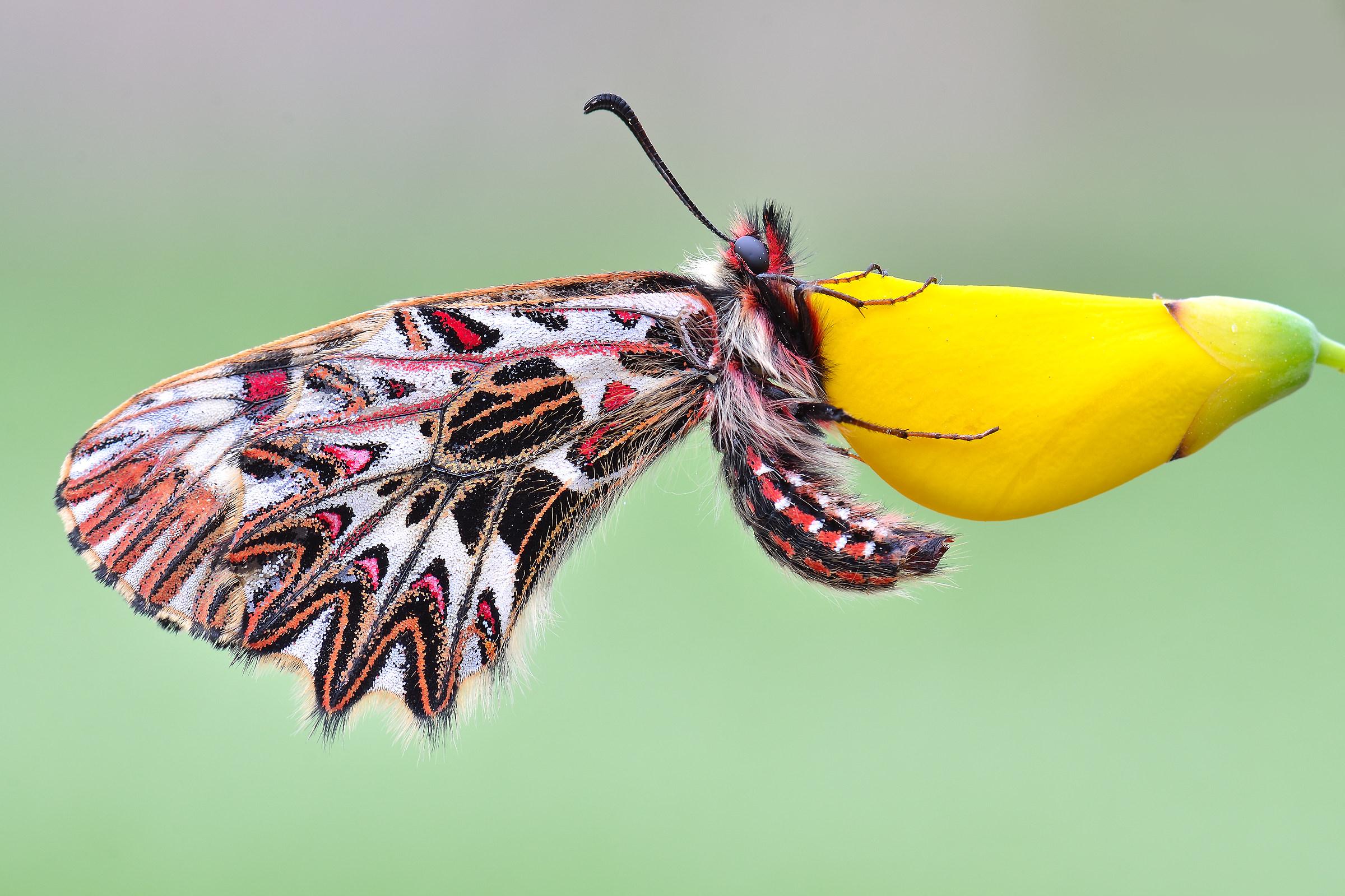 Zerynthia polyxena cassandra...