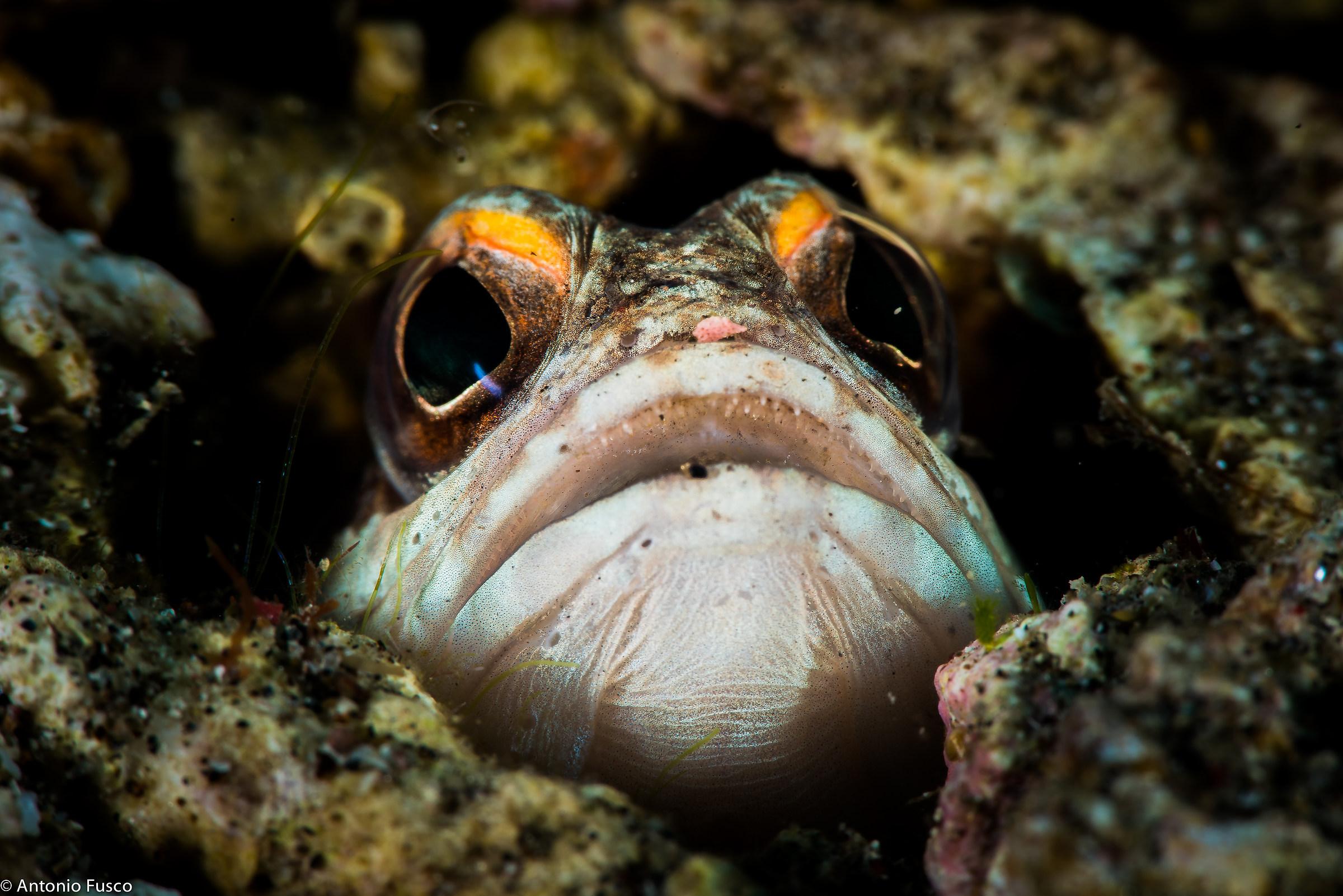 Opistognathus - Jawfish...