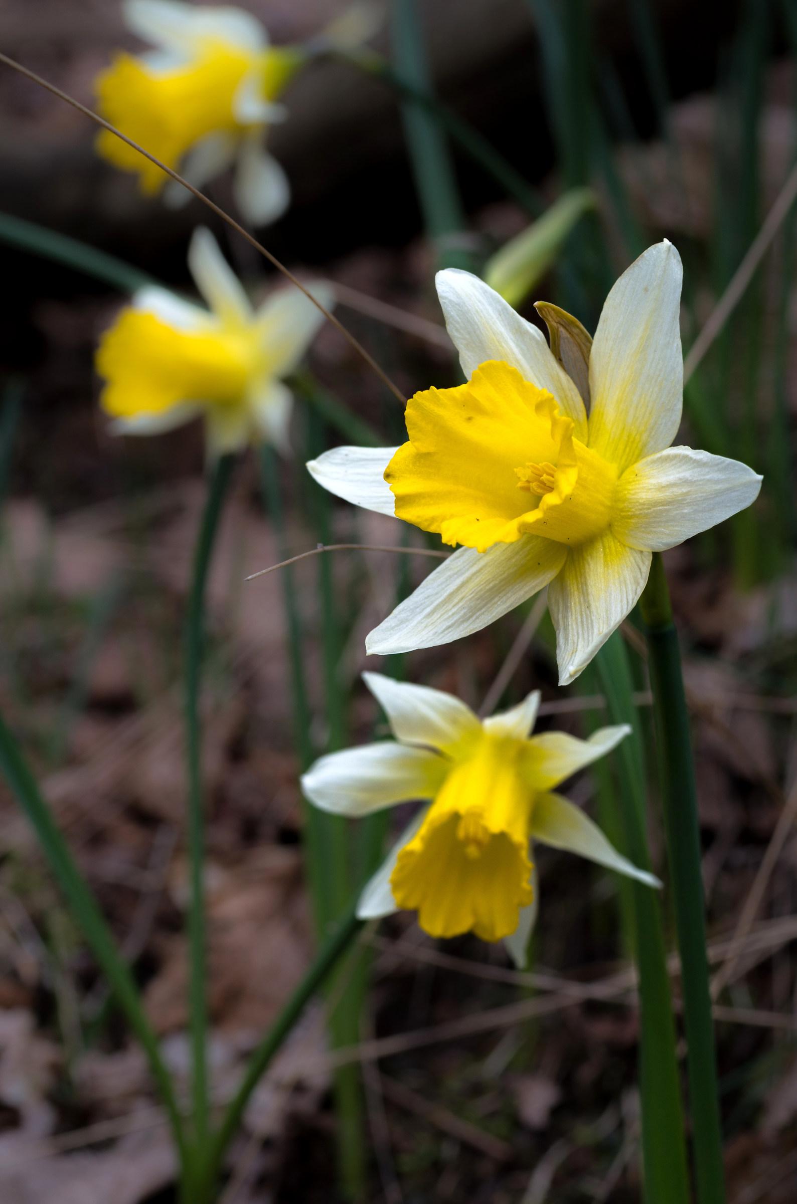 Narcissus Jonquilla - Daffodil...