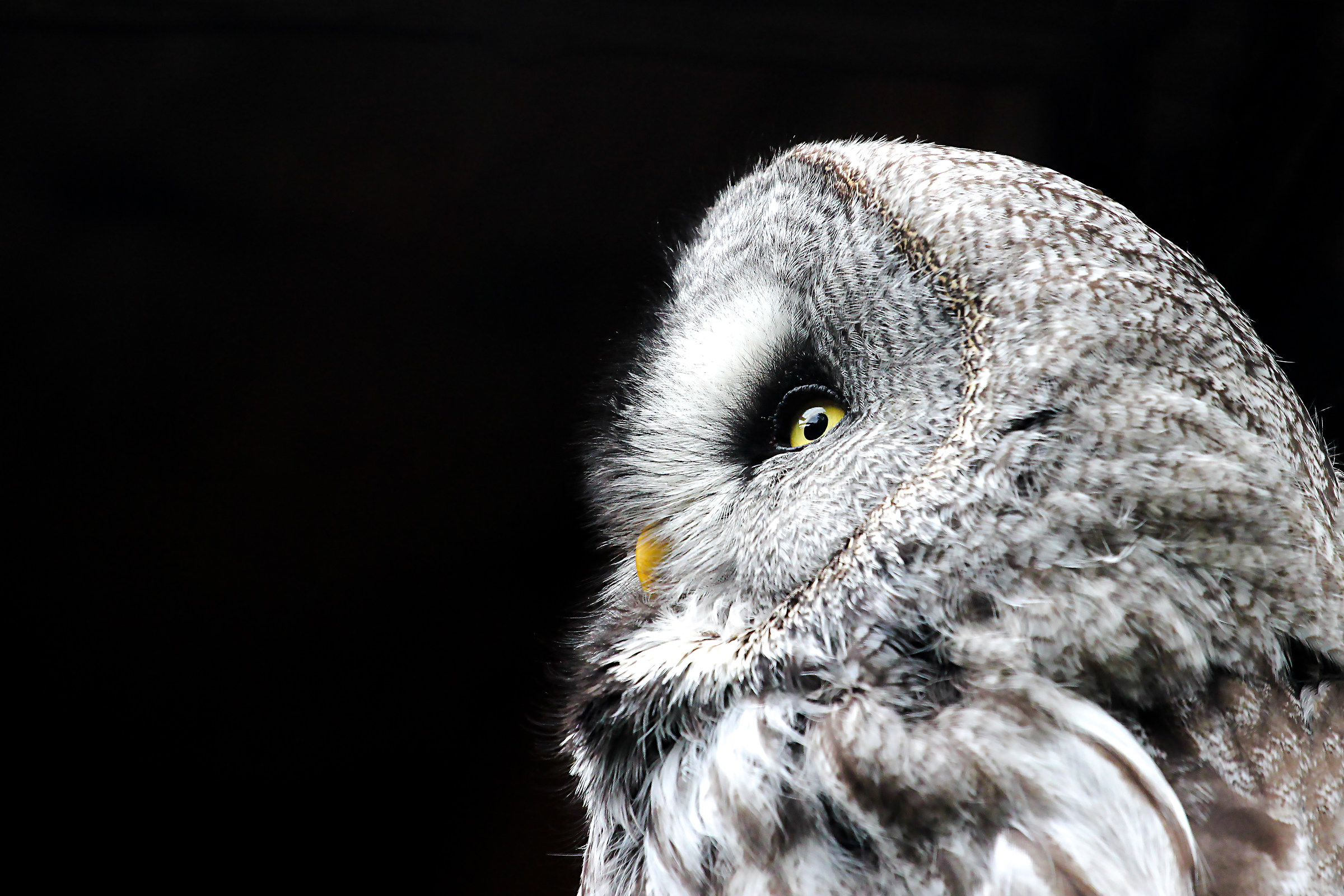 gray Owl...