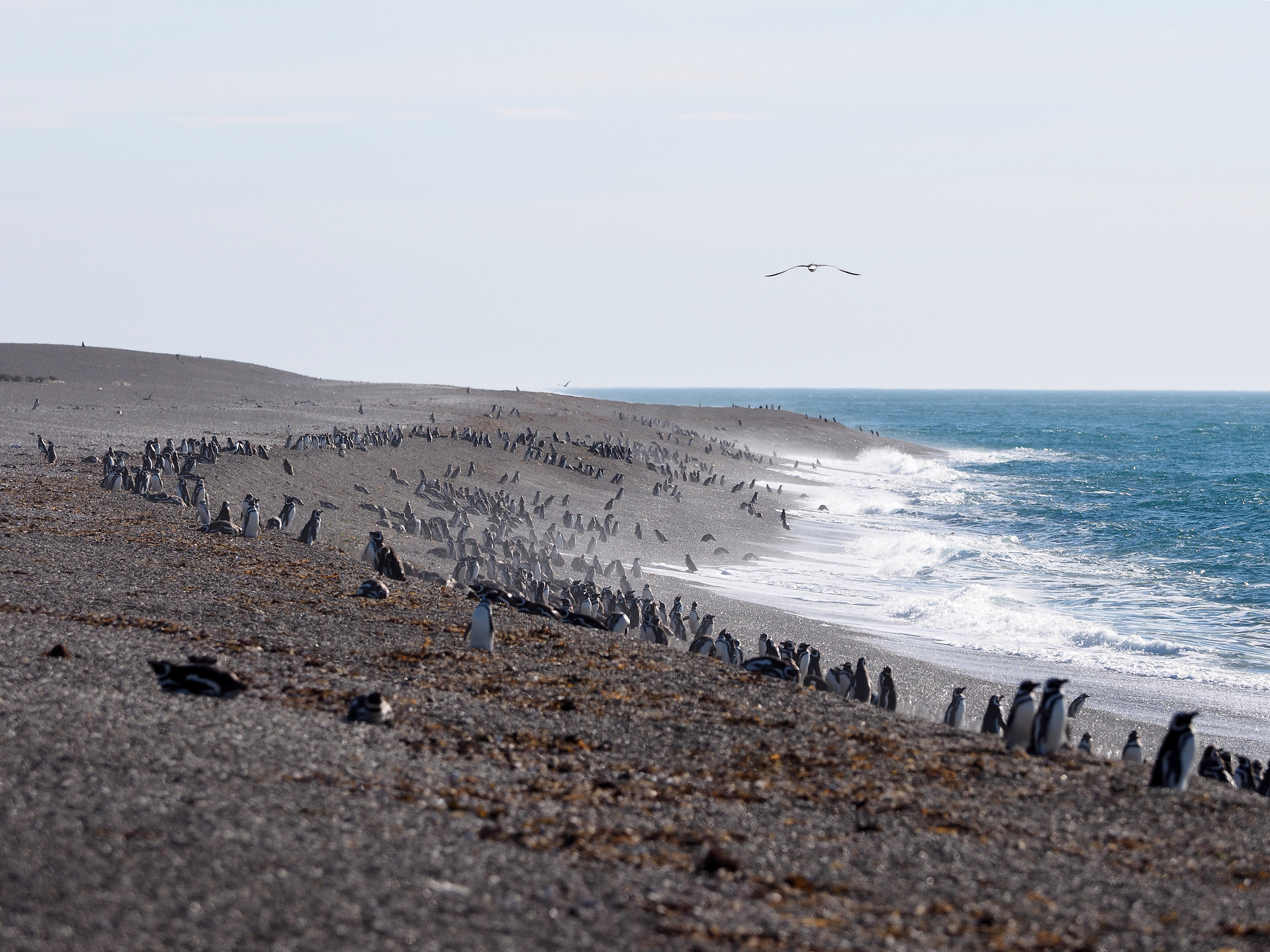 Peninsula Valdes. Punta Norte. Pinguinera...