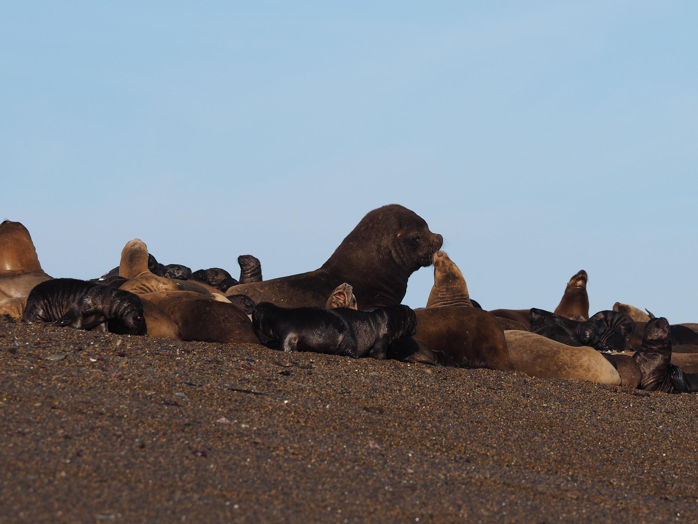 Peninsula Valdes. Punta Norte. The kiss...