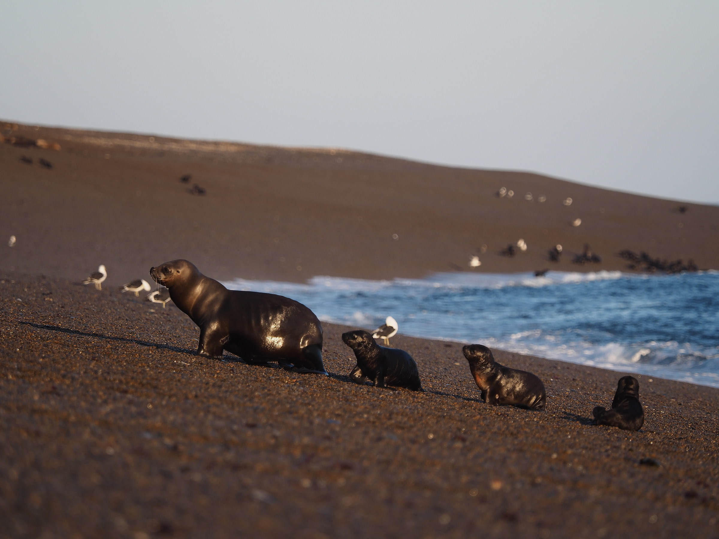 Peninsula Valdes. Punta Norte. Mom with pups...