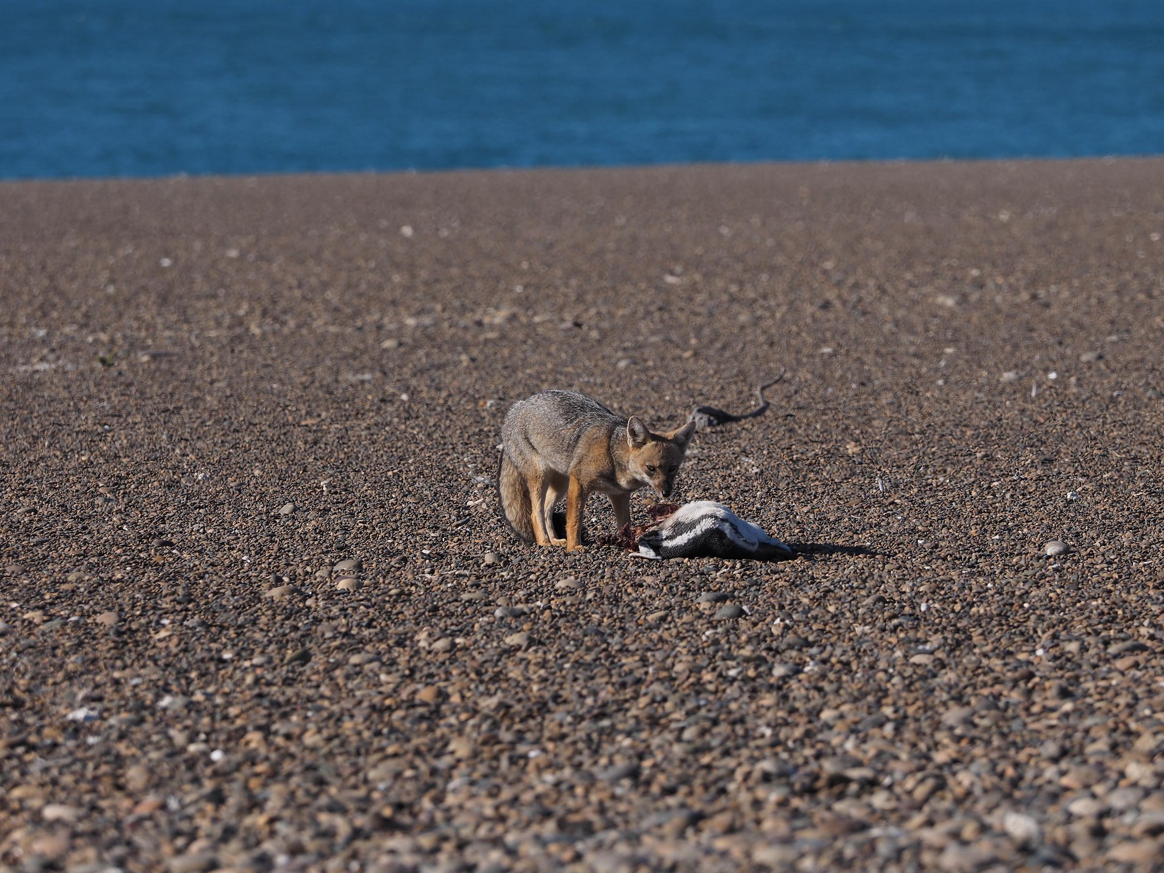 Peninsula Valdes. Punta Norte. gray Fox...