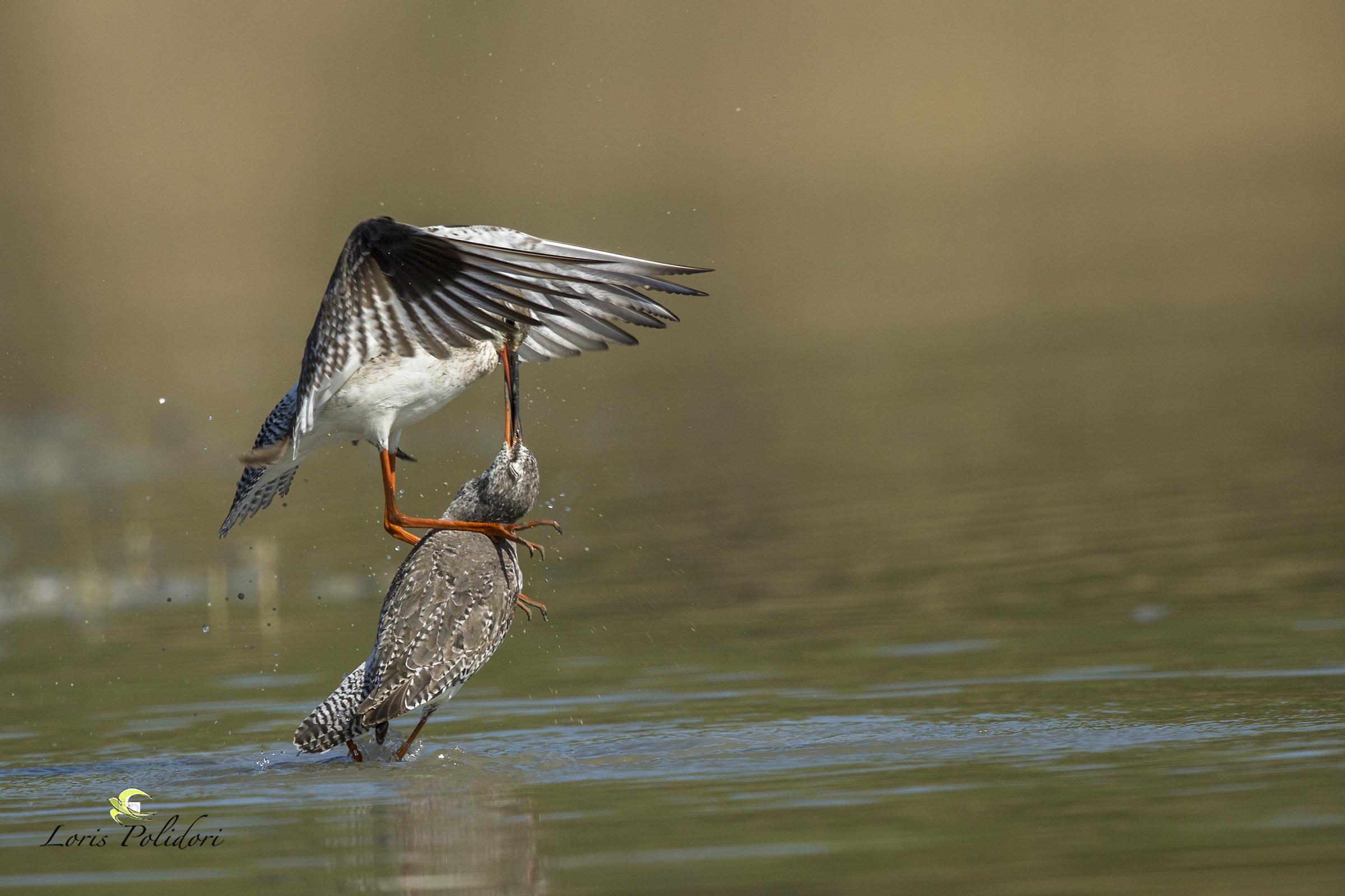 fight ... beak to beak...